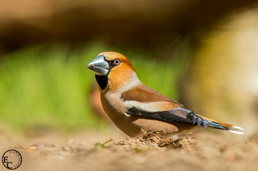 Photo in Animal #birds #hawfinch #wildlife #animal #nature