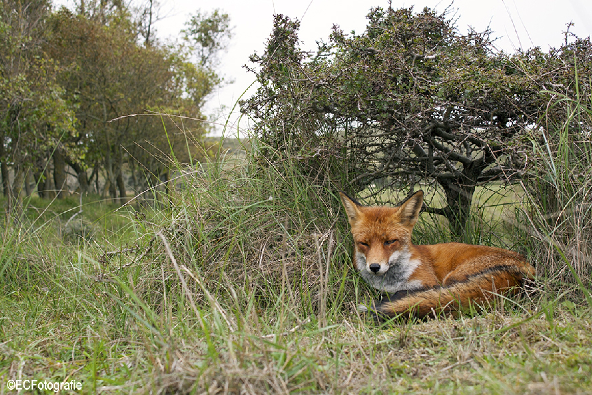 Foxy chilling by eelke.cooiman