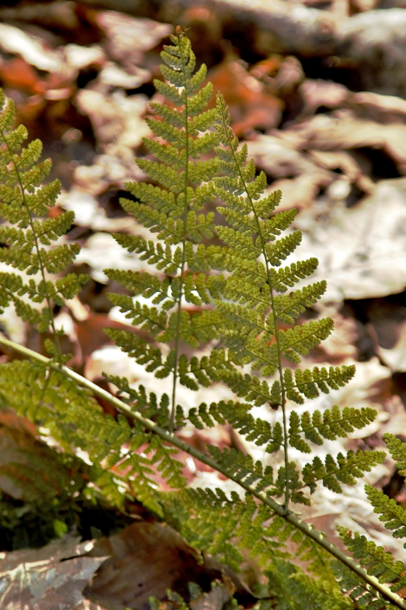 Spring Ferns On Autumn Leaves - Colour by paul.hosker