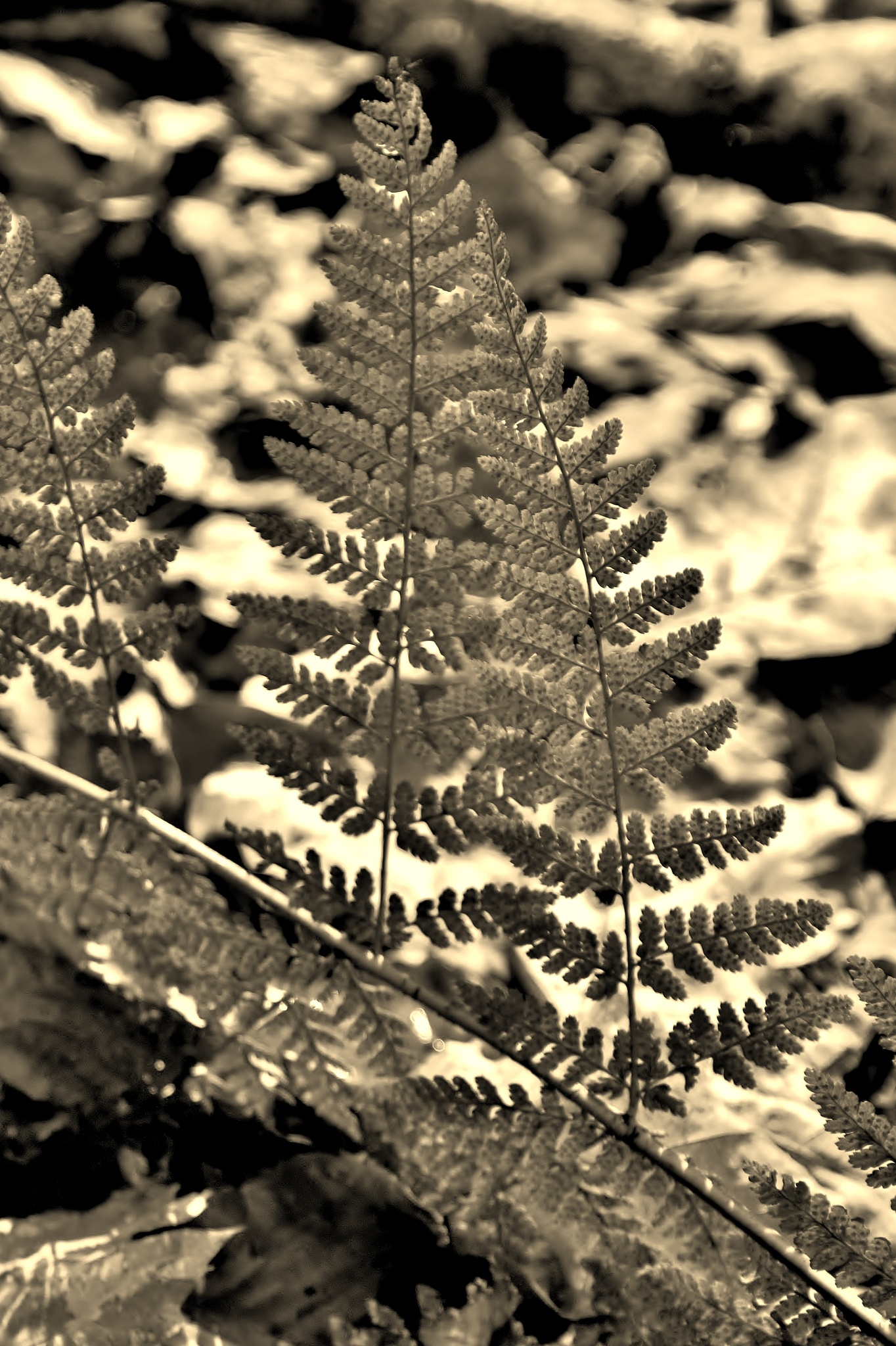 Spring Ferns On Autumn Leaves - Sepia by paul.hosker