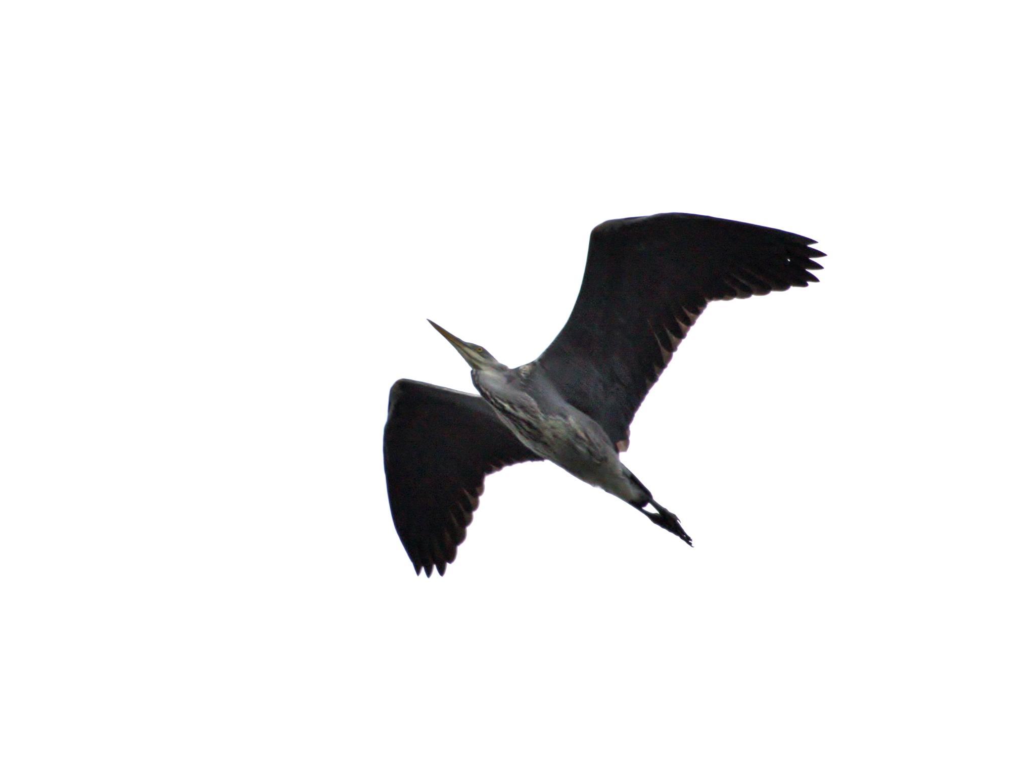 Heron in flight by paul.hosker