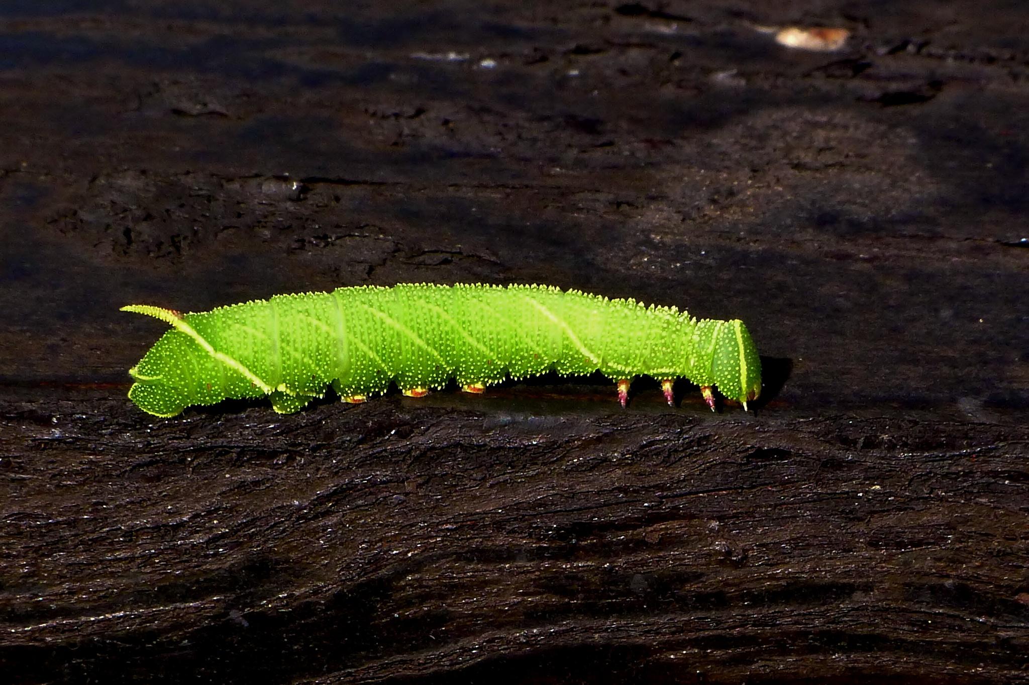 Poplar Hawkmoth Caterpillar 001 by paul.hosker