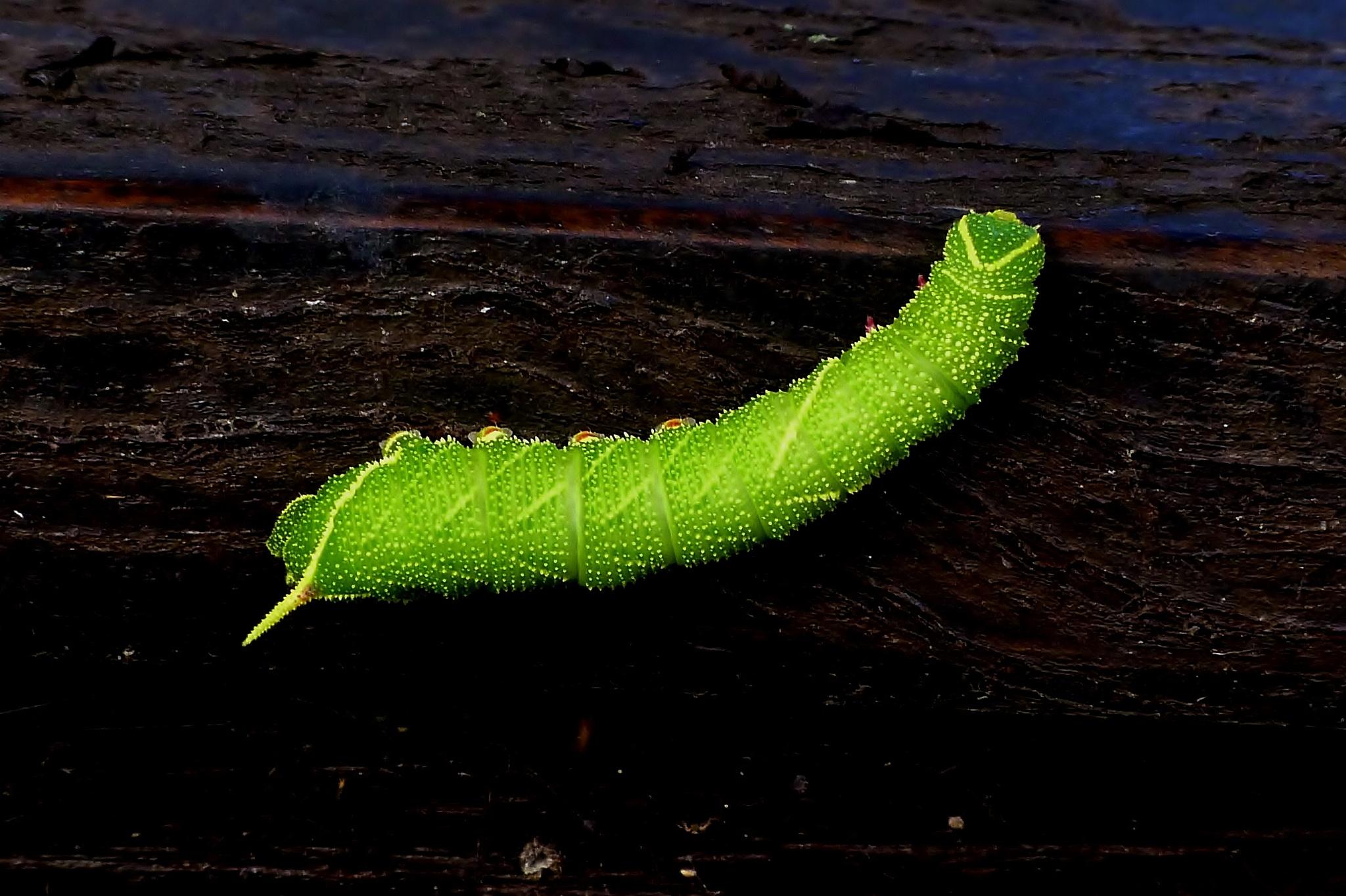 Hawksmoth Caterpillar 002 by paul.hosker