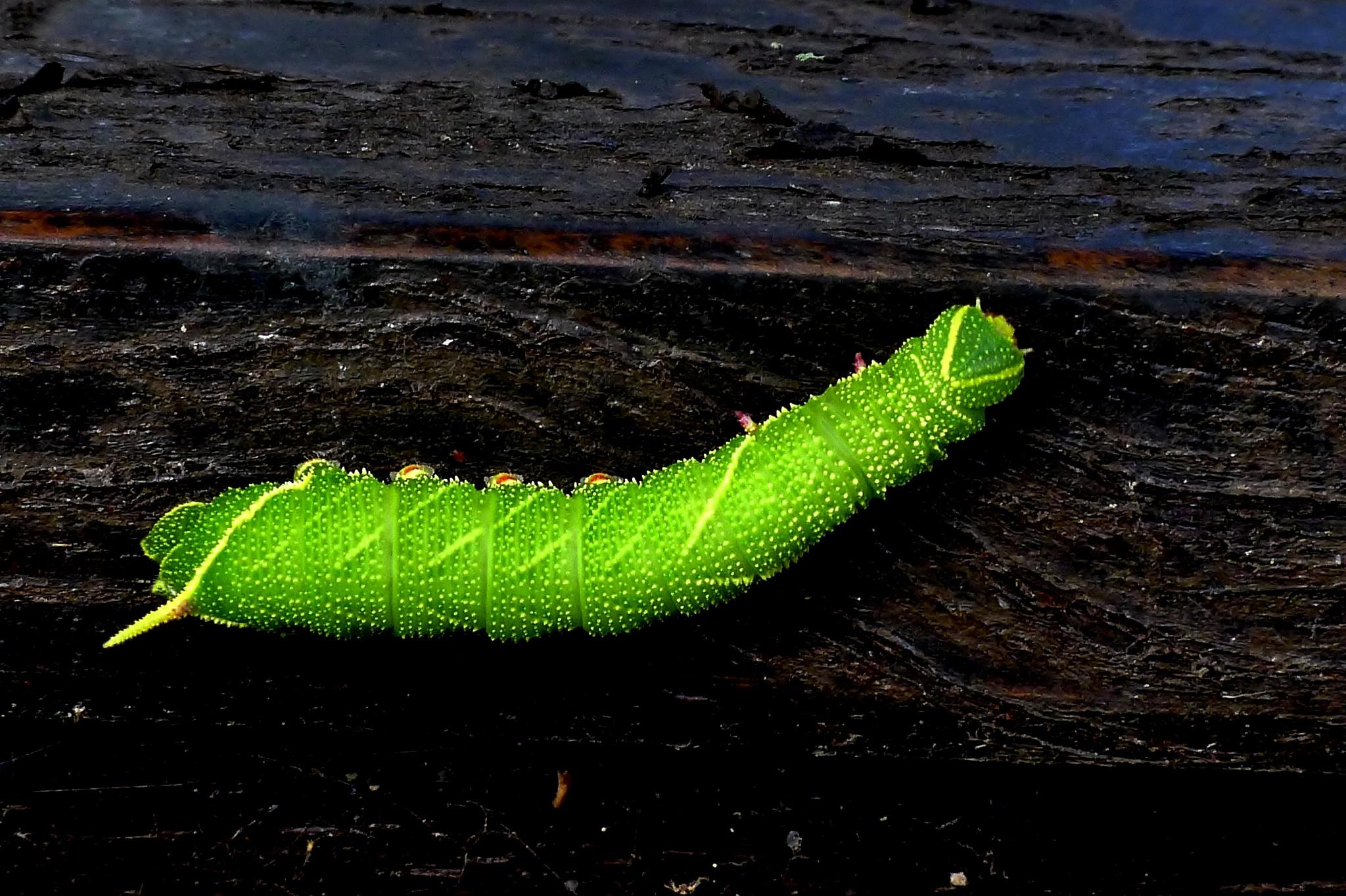 Hawksmoth Caterpillar 003 by paul.hosker