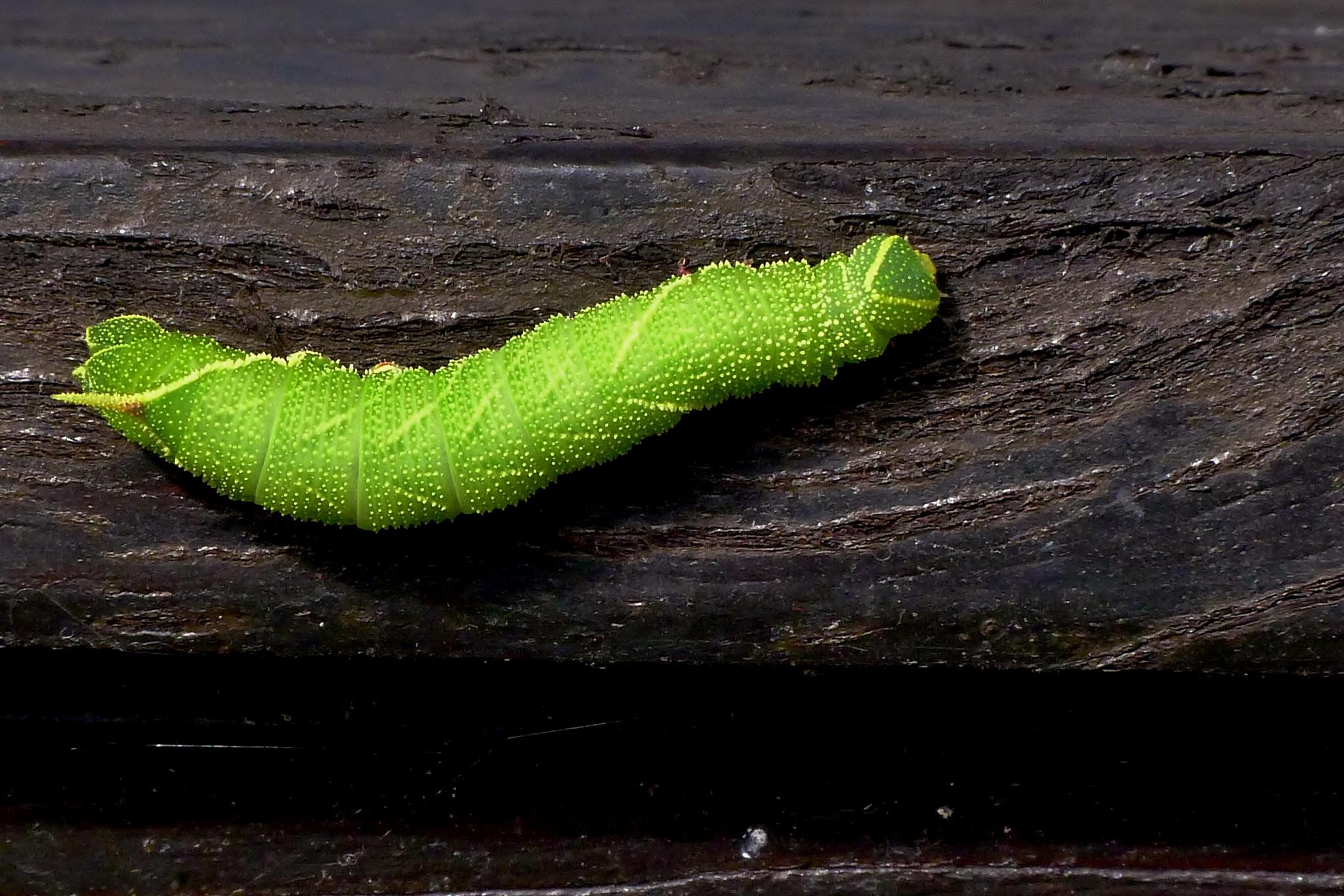 Poplar Hawk-moth Laothoe populi - Colour by paul.hosker