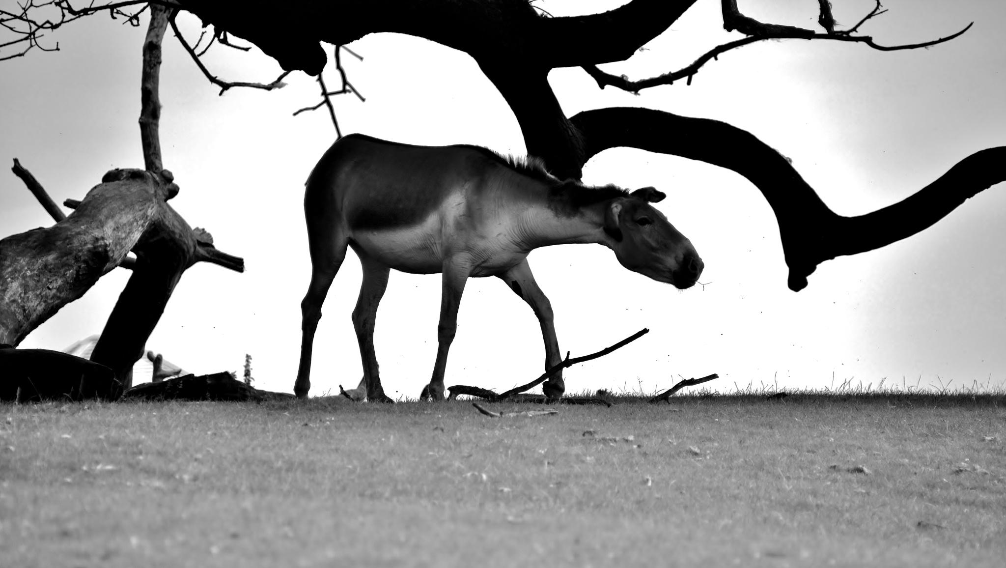 Kiang - Semi Silhouette - Monochrome by paul.hosker