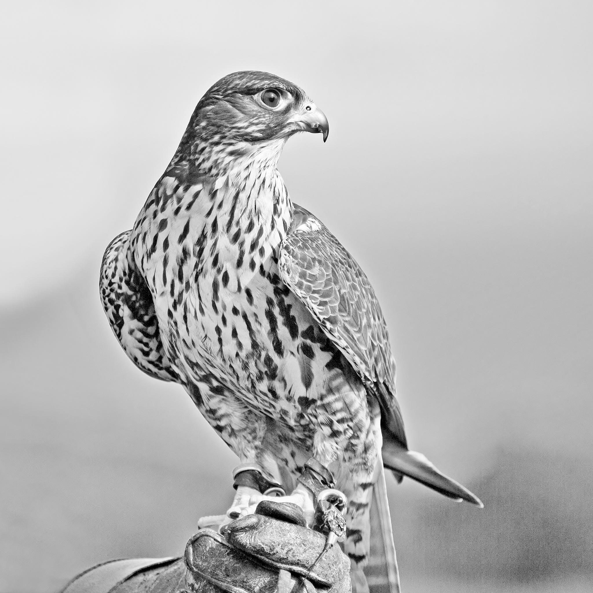 Peregrine Falcon - Monochrome by paul.hosker