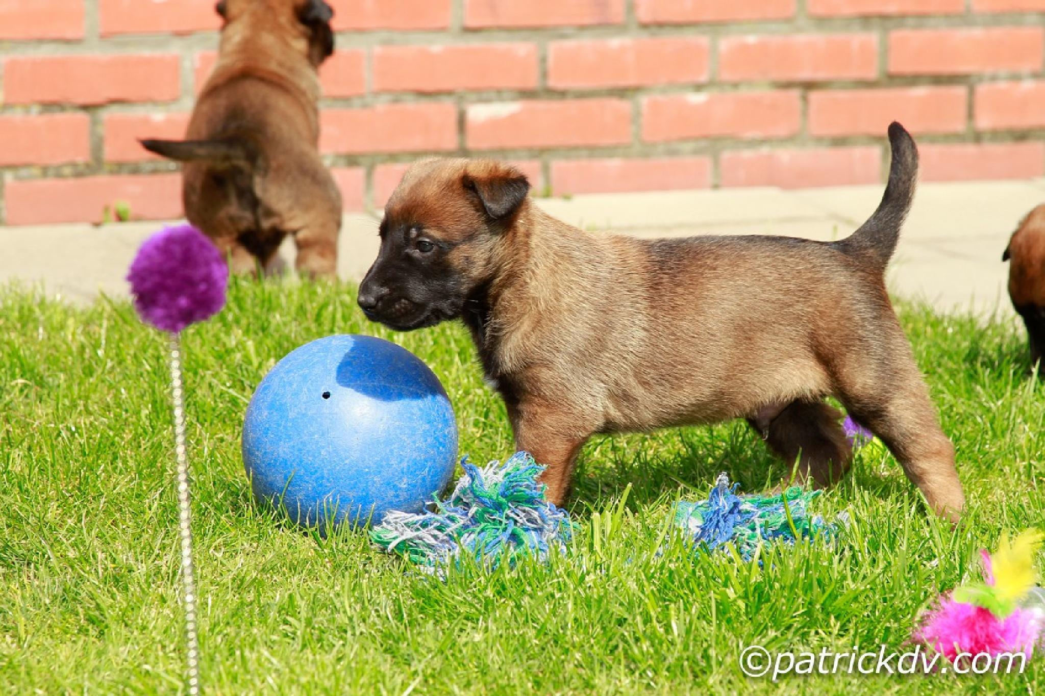 Malinois puppy  by Patrick de Vleeschauwer.