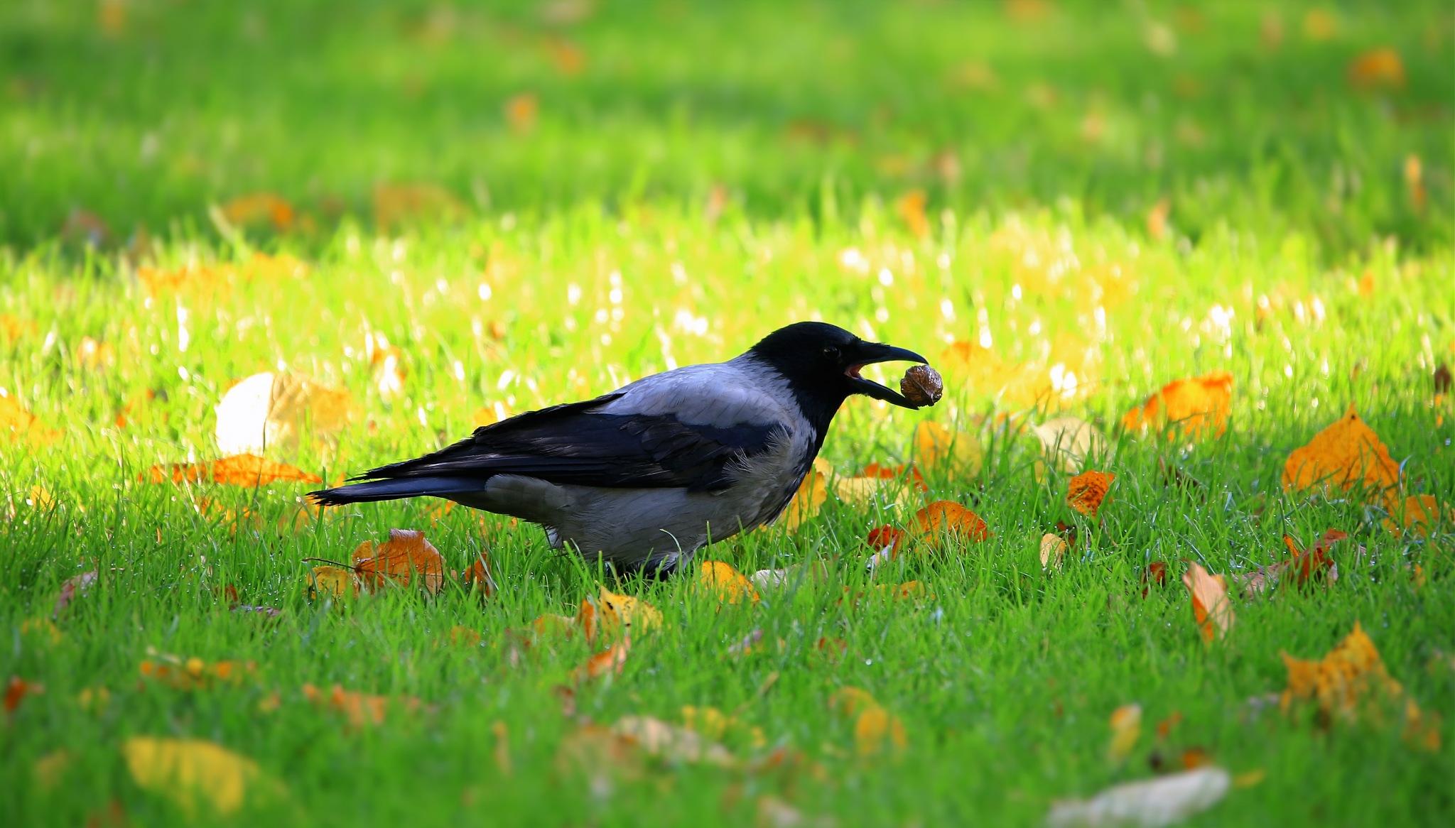 Crow by abi.doroud