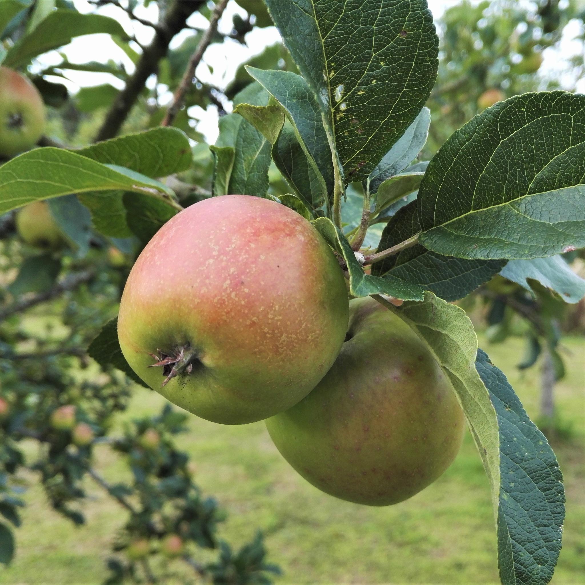 Apples 1 by ............................. Julian.G.Hicks