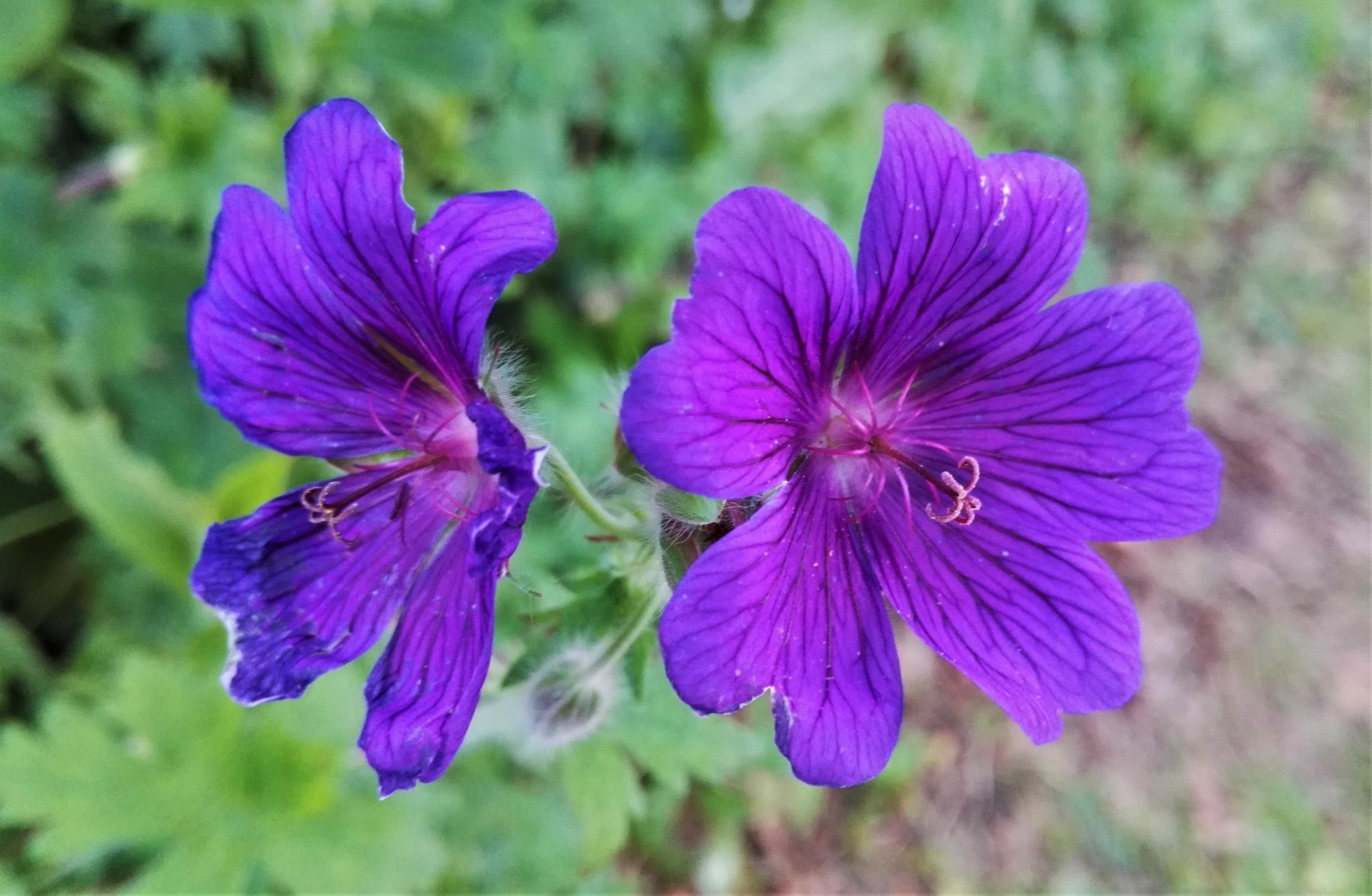 Purple Twins by ............................. Julian.G.Hicks