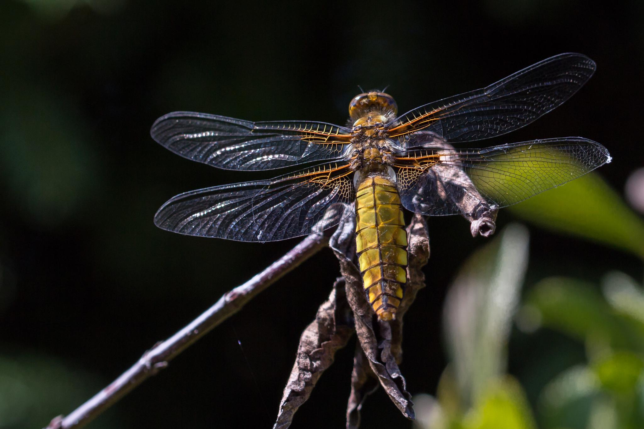 Dragonfly in the garden by valeria.santon