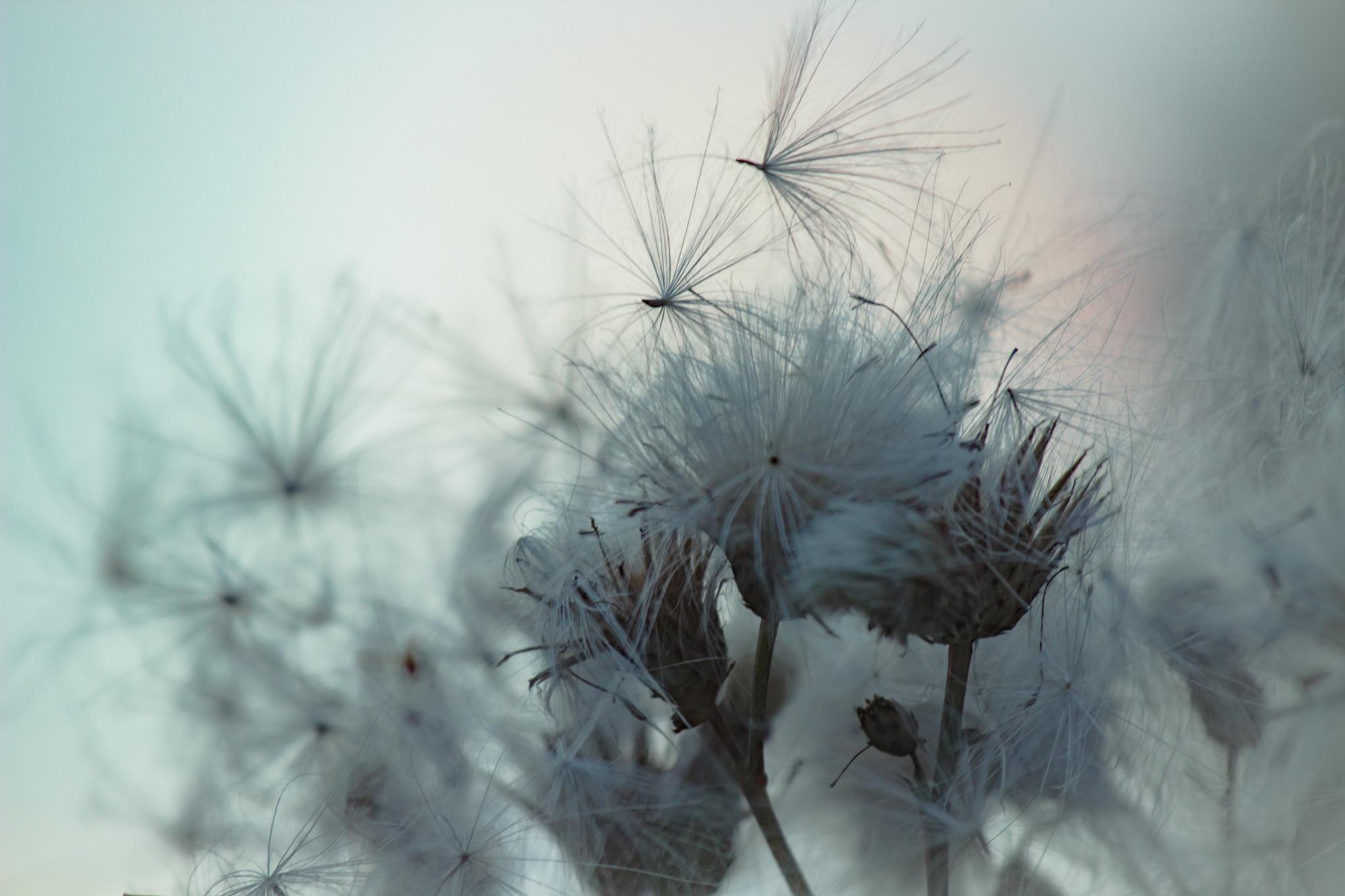 Dandelion by valeria.santon