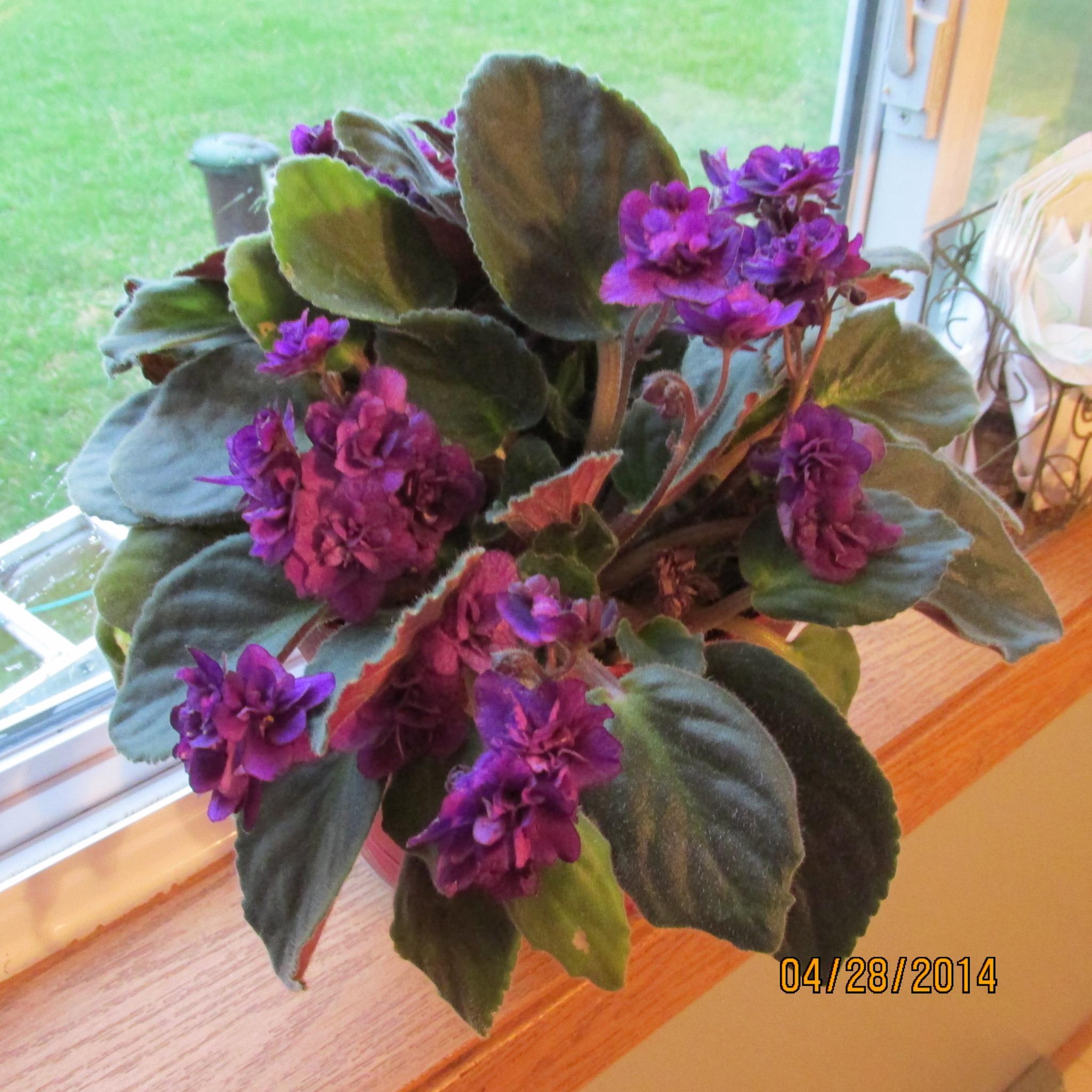 Violets by kristi.newcomb