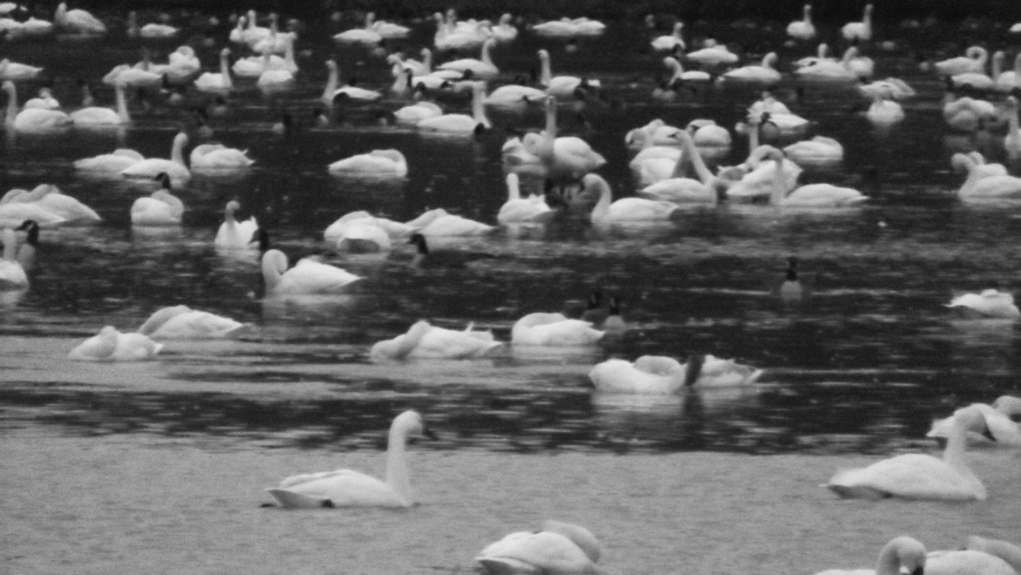 Snow Geese in Black and White by MicheleHoffman
