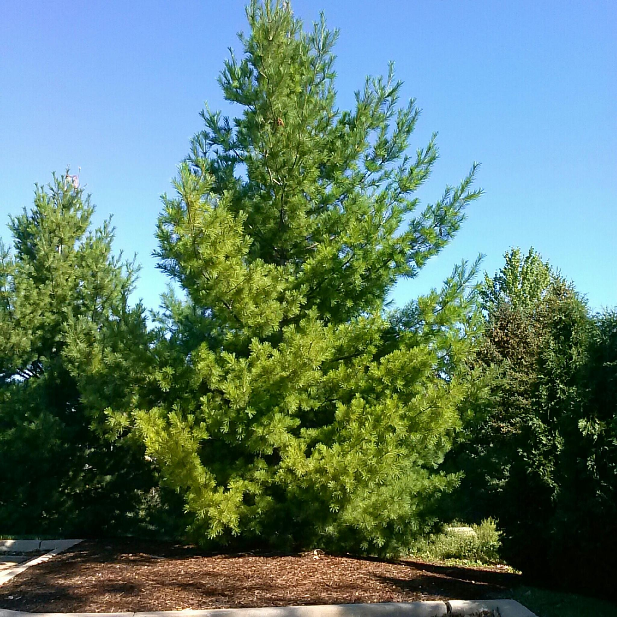 pine by yom.sant