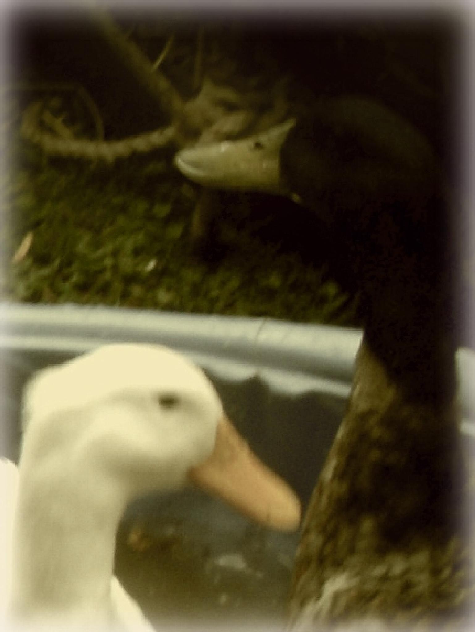 duckie 2 by nancy sutton hoyt