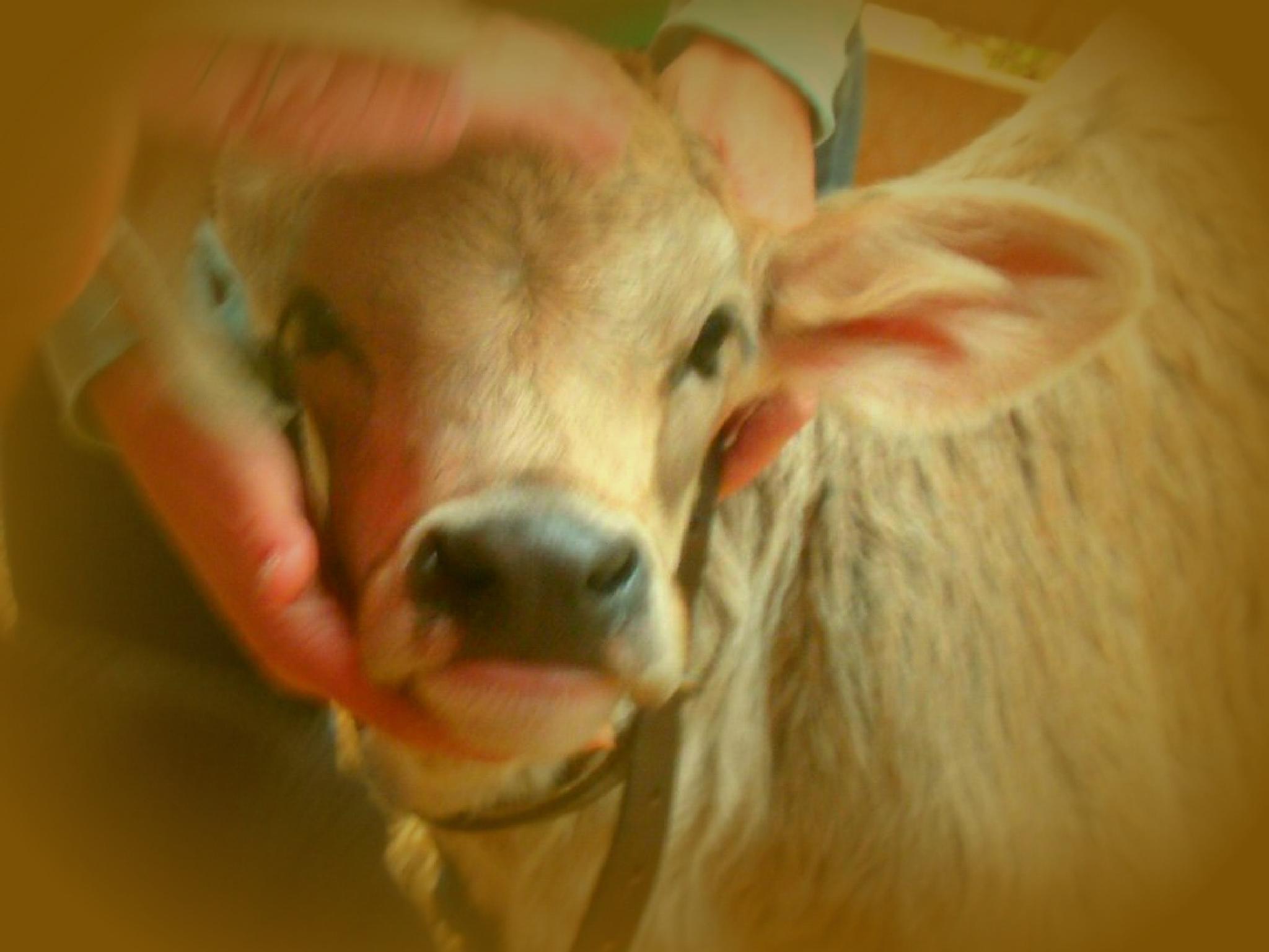 calf by nancy sutton hoyt