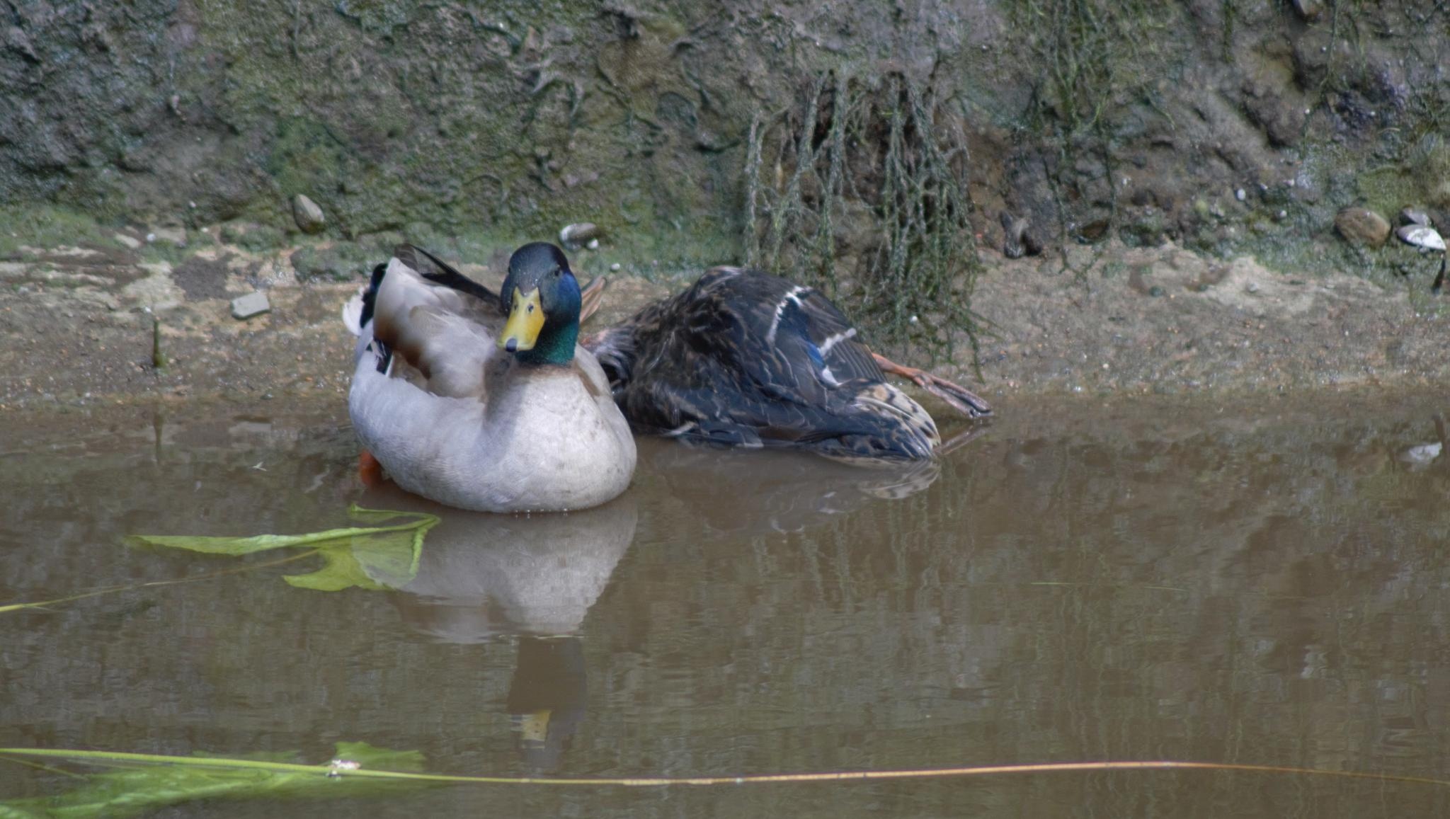 Poor Daisy had gone but Daffy stayed with her body ..R.I.P by Meldrew