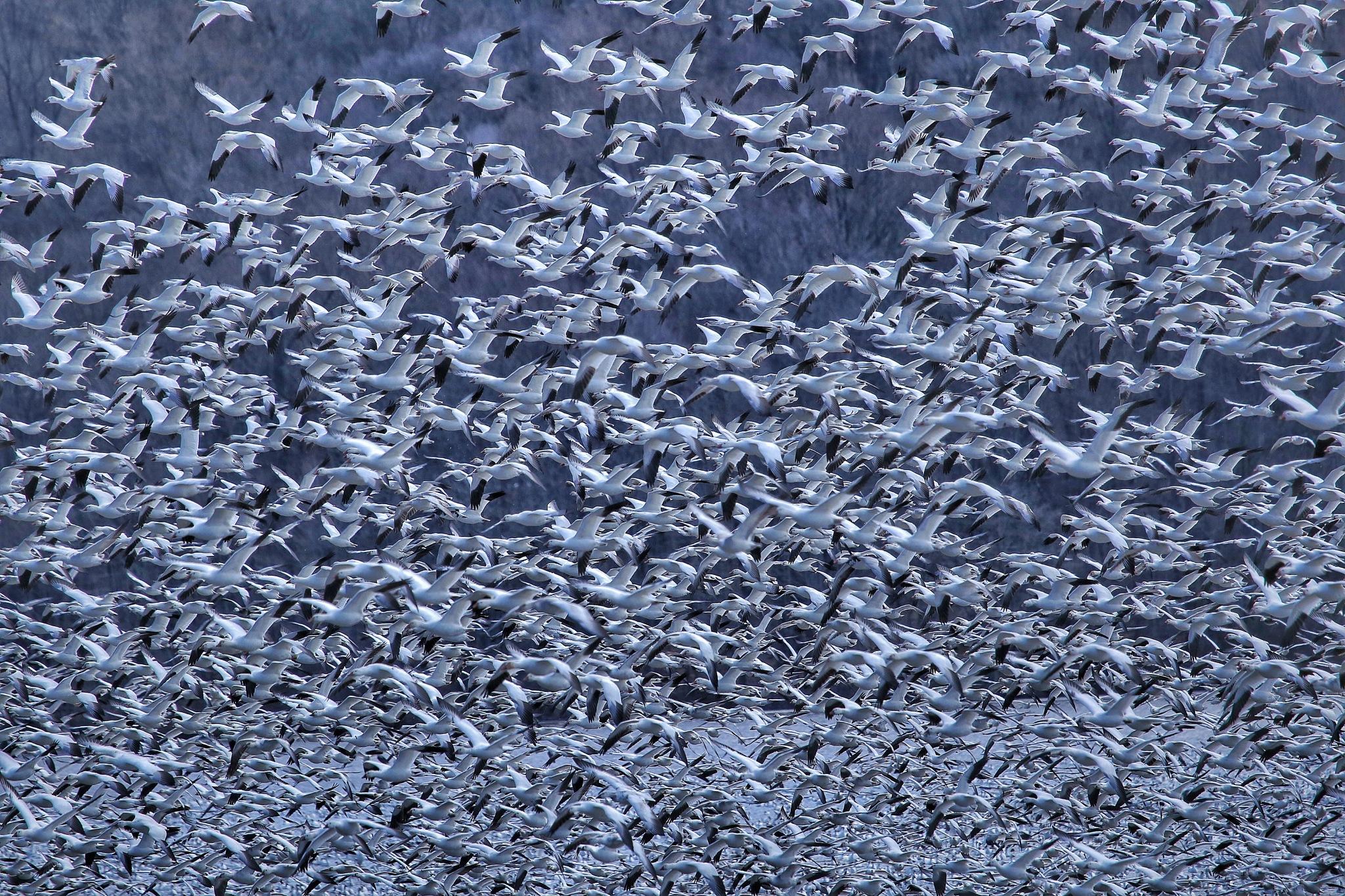 Just a Few Snow Geese by PamelaZ