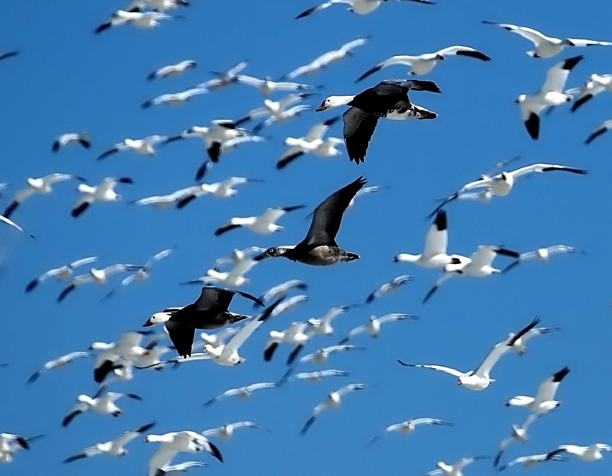 Migration by PamelaZ