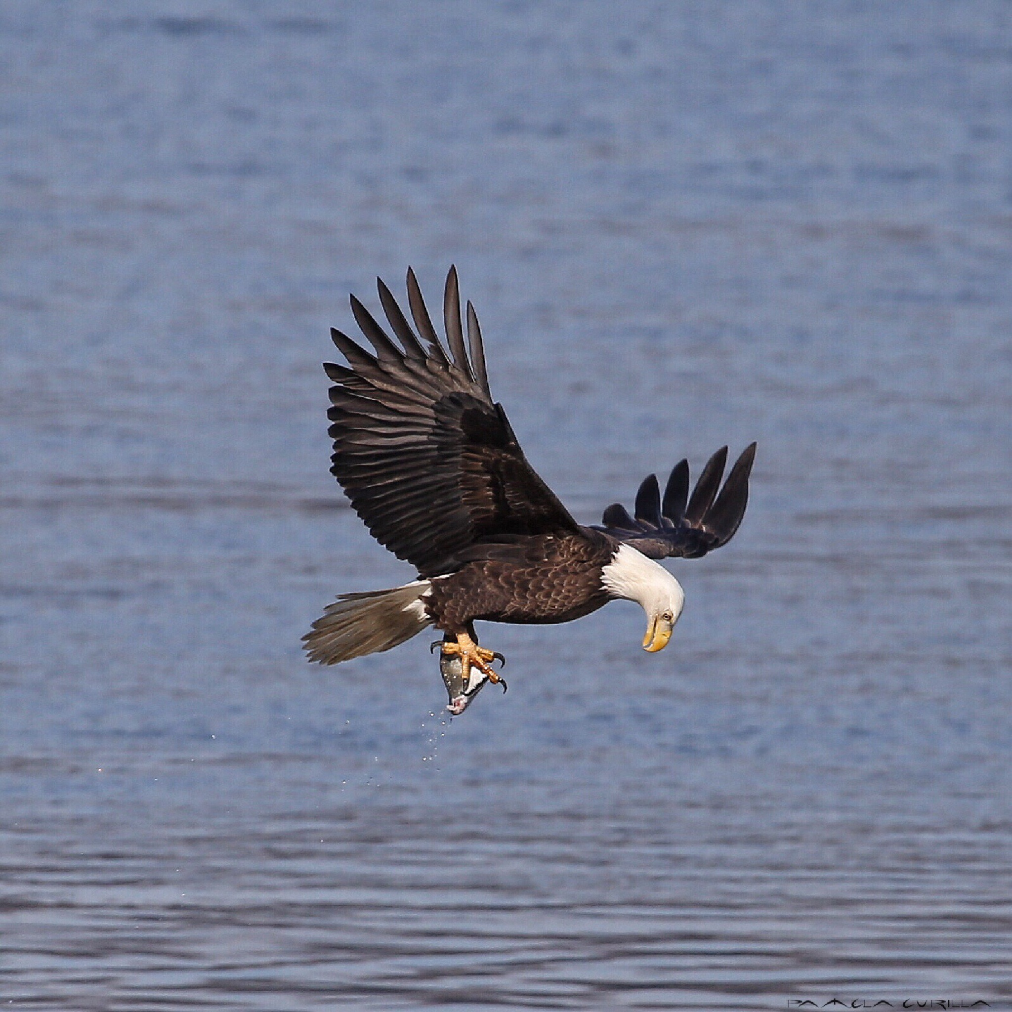 Bald Eagle Fishing.  by PamelaZ