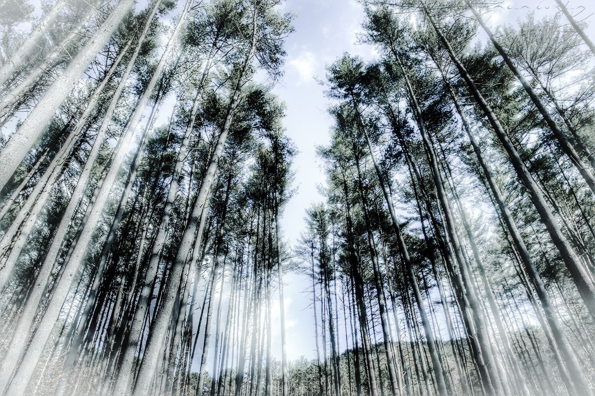 Pines by PamelaZ