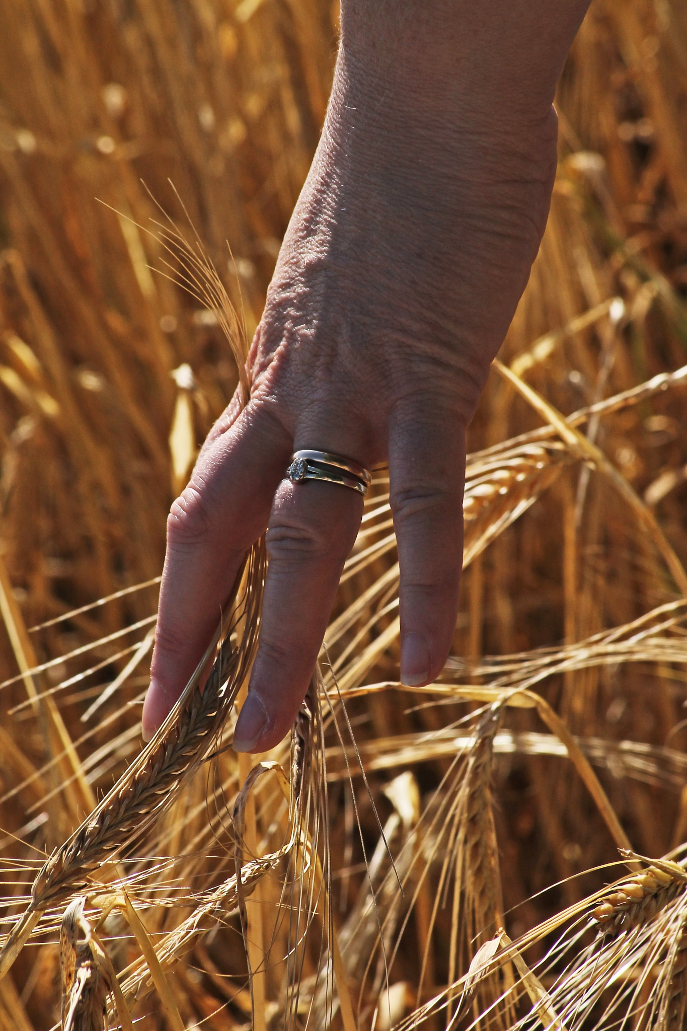the hand that shakes the barley by David R Murphy