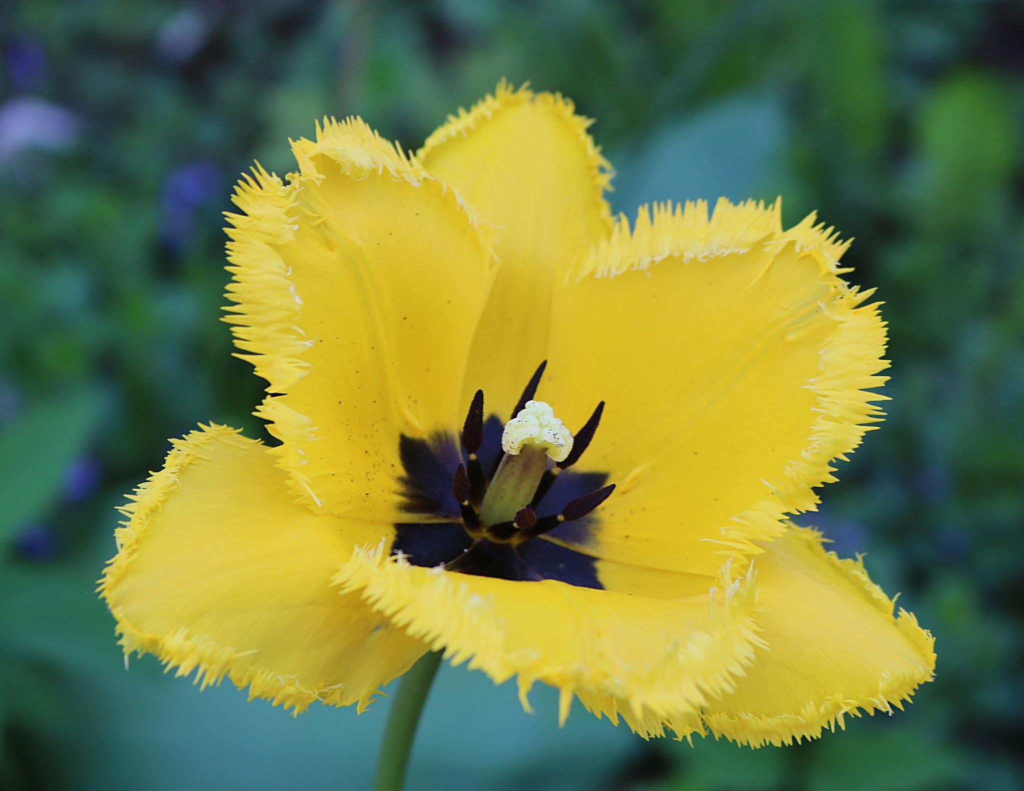 Tulipan by zvnktomasevic