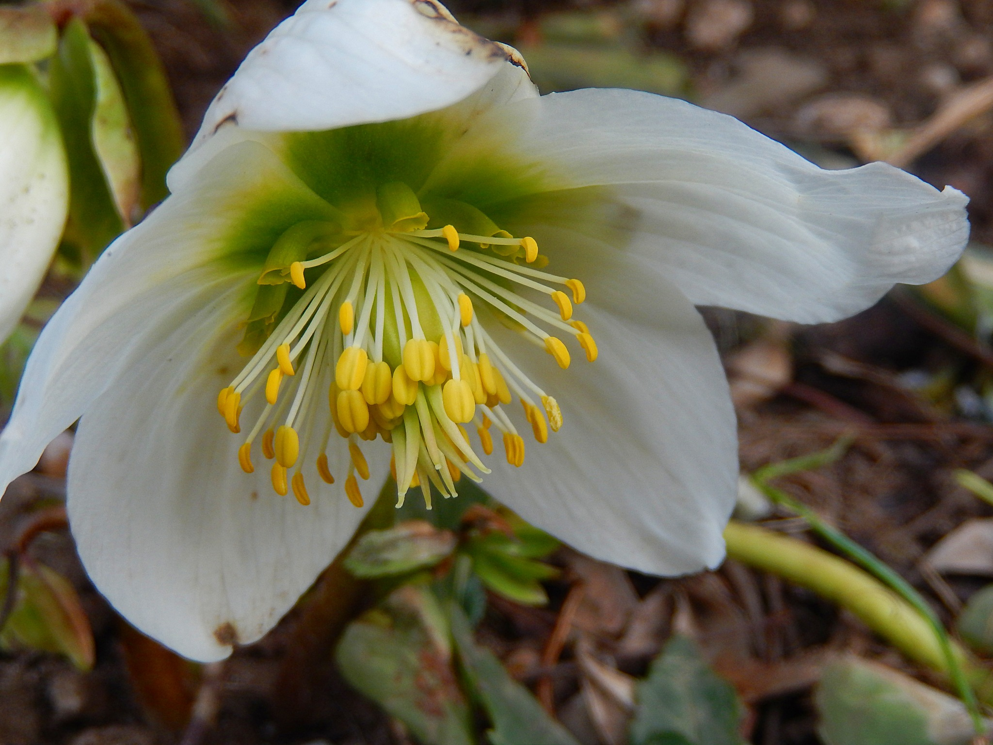 Helleborus by zvnktomasevic