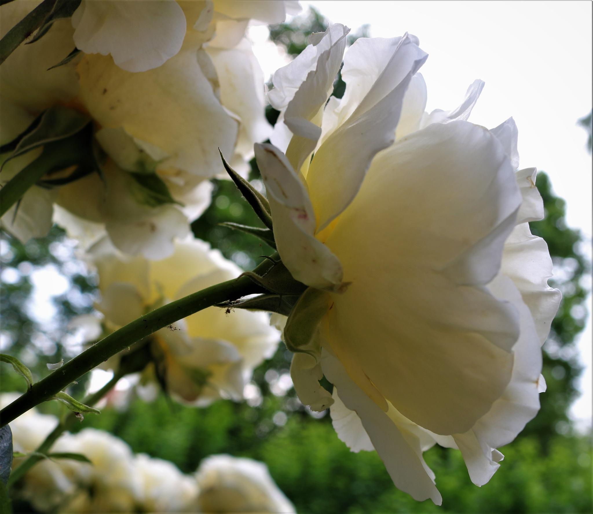 Vrtnica by zvnktomasevic