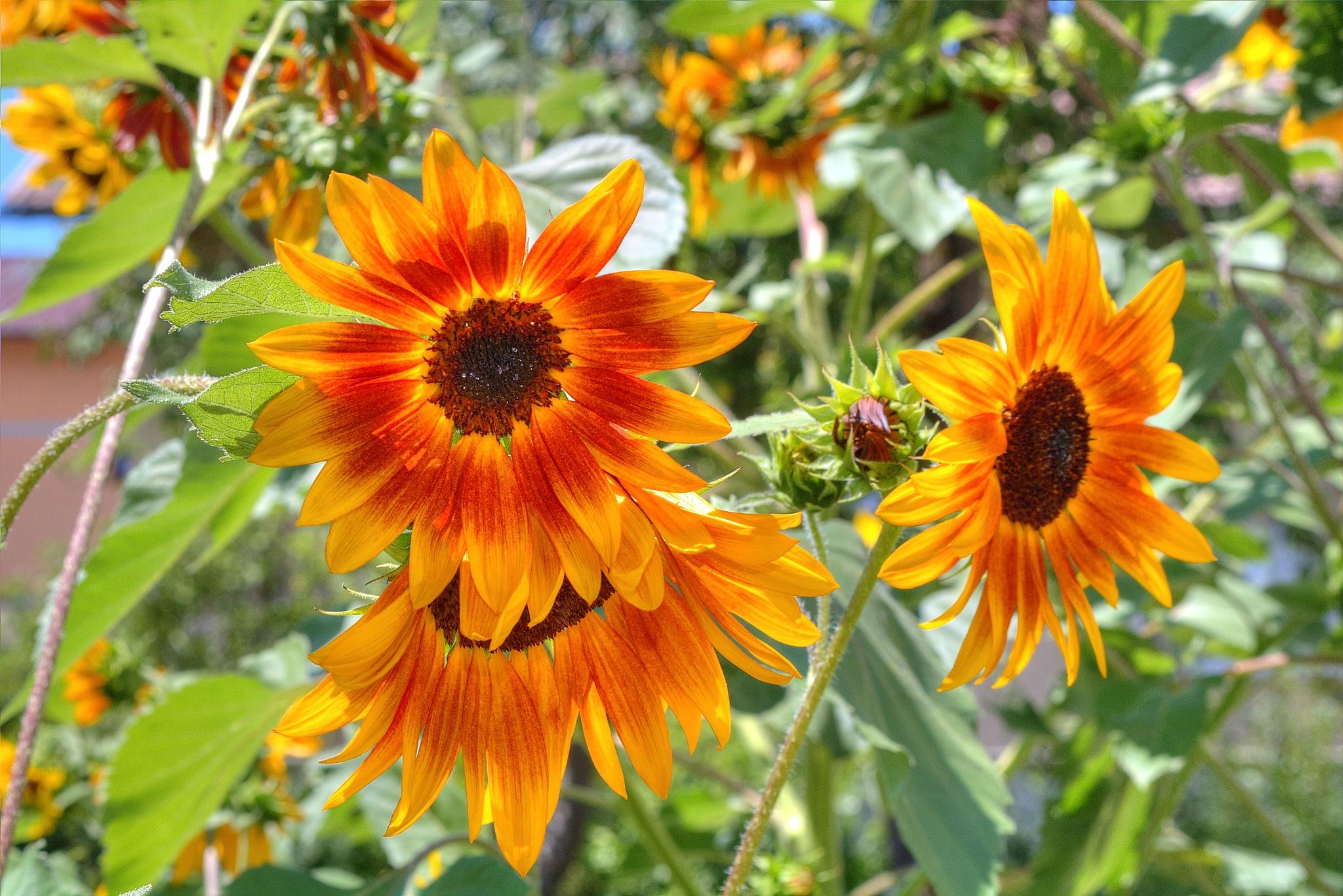 Sunflowers  3 by zvnktomasevic