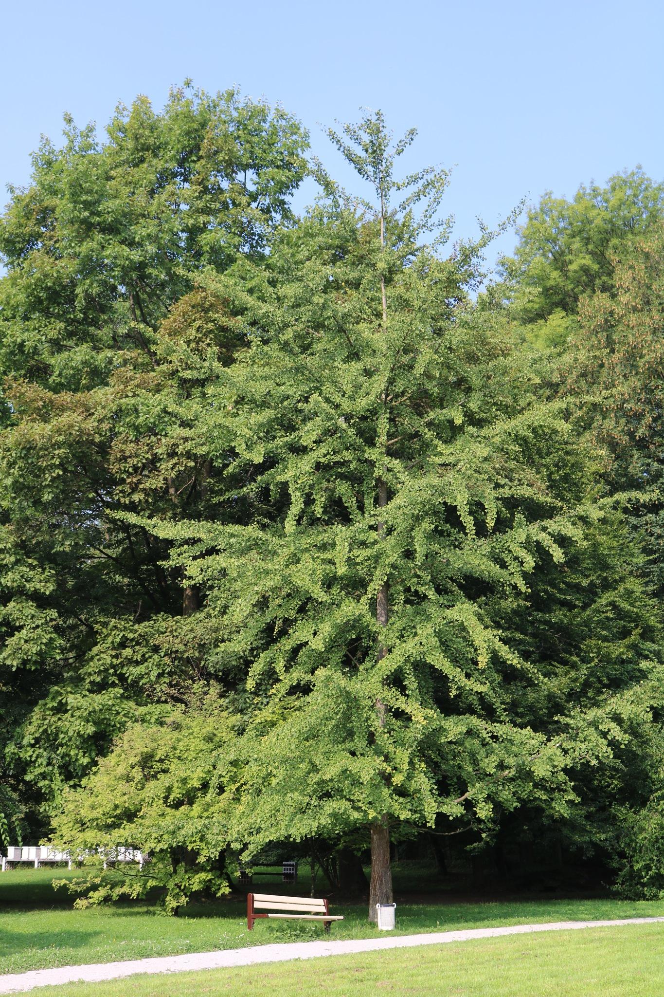 Ginko biloba - tree by zvnktomasevic