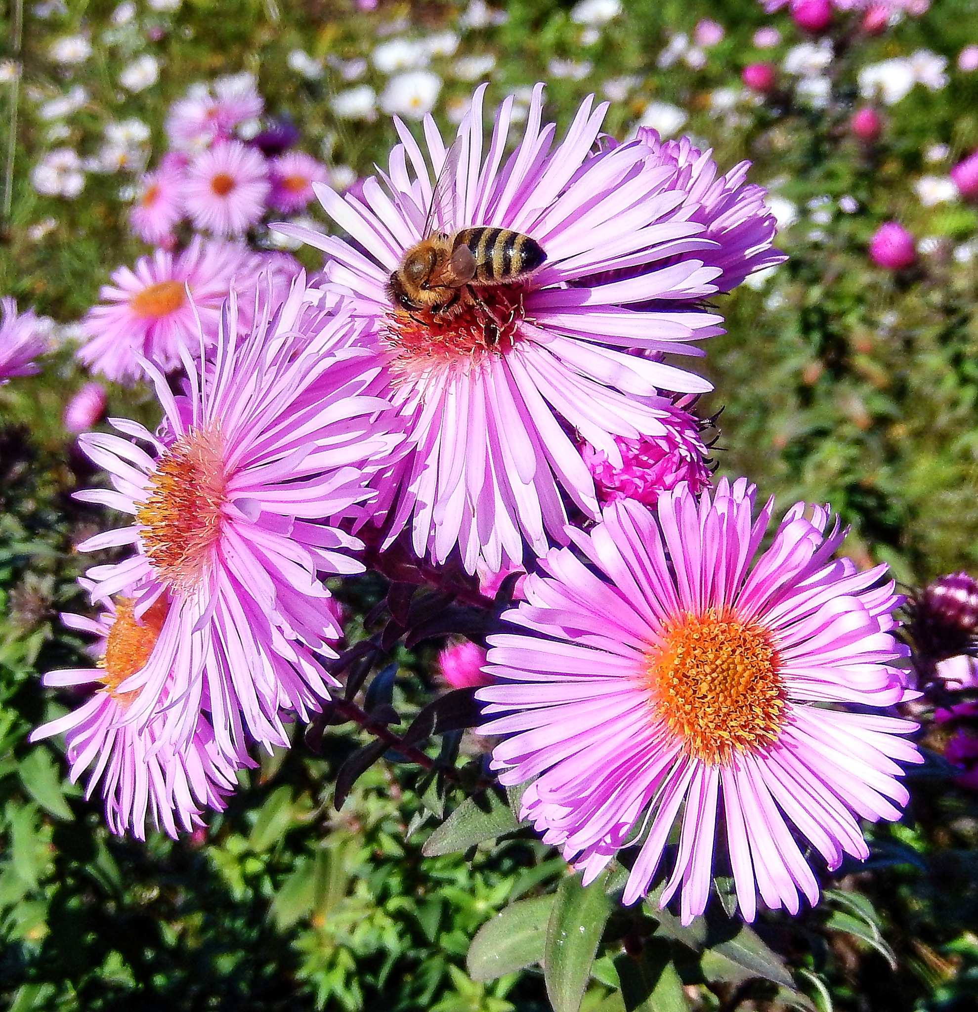 Aster and bee by zvnktomasevic