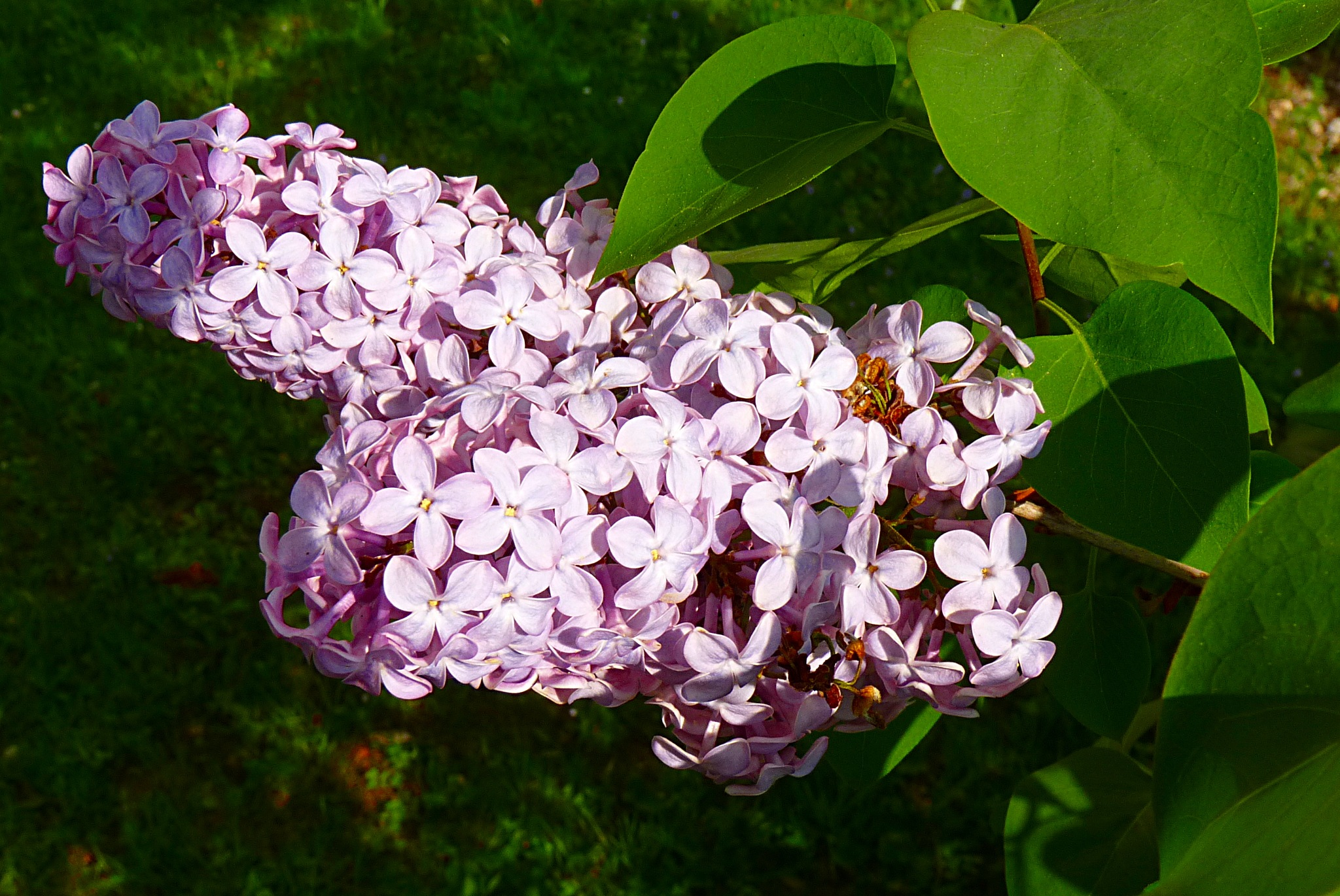 Syringa vulgaris by zvnktomasevic