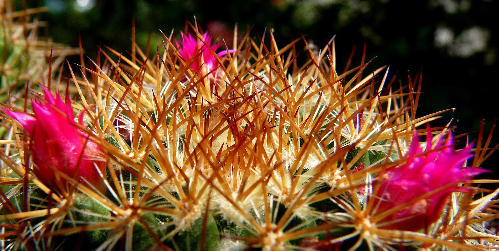 cactus by zvnktomasevic