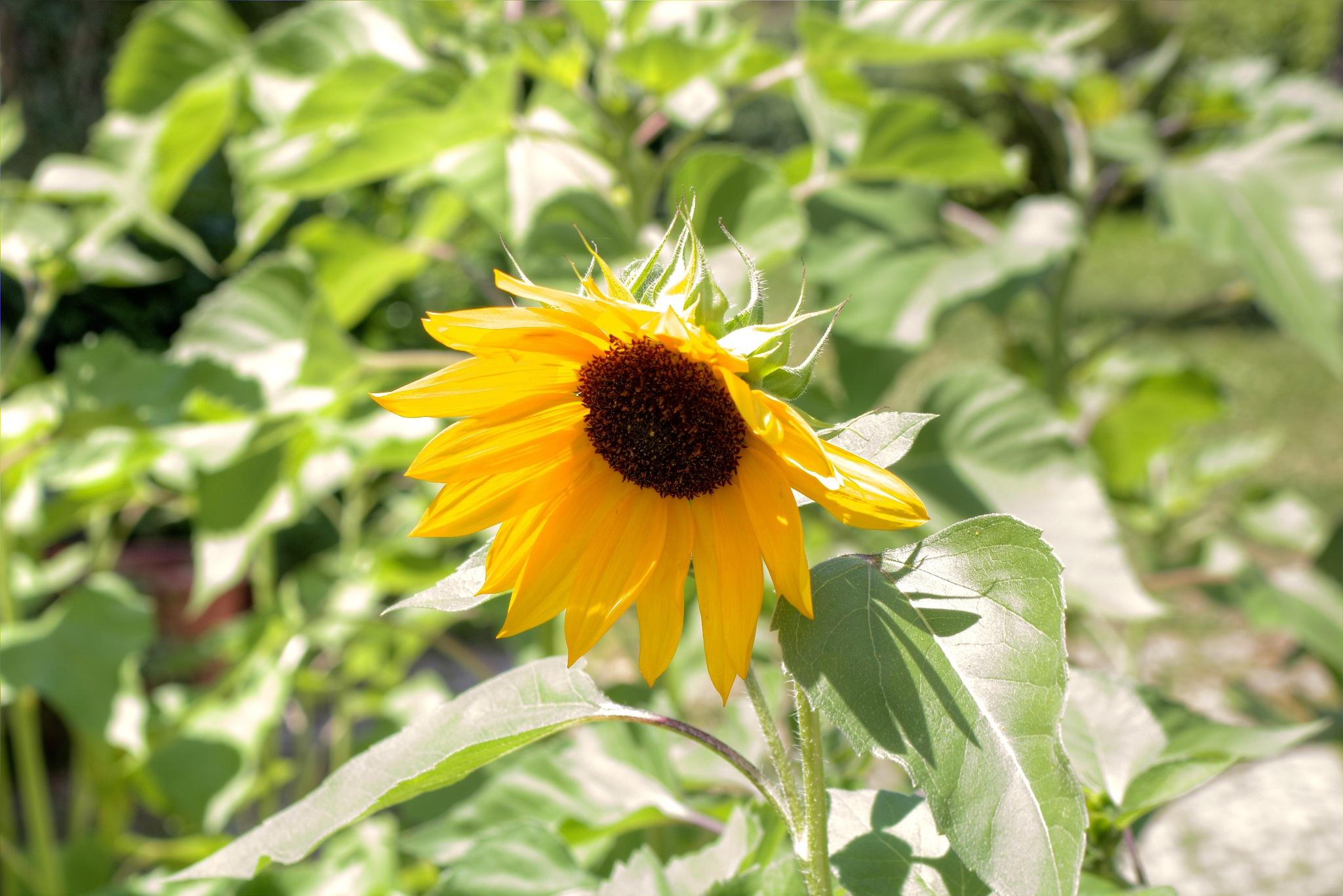 Sunflower  by zvnktomasevic