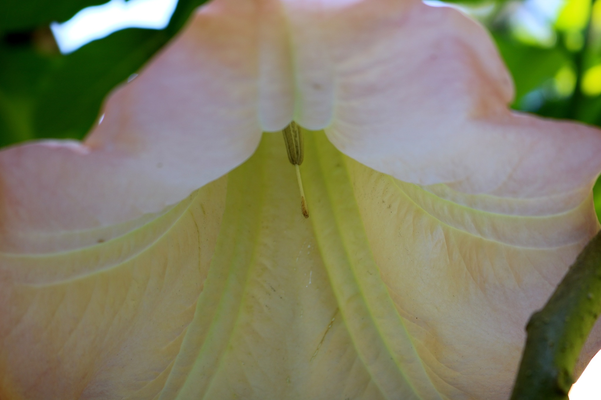 Brugmansia sanguinea by zvnktomasevic