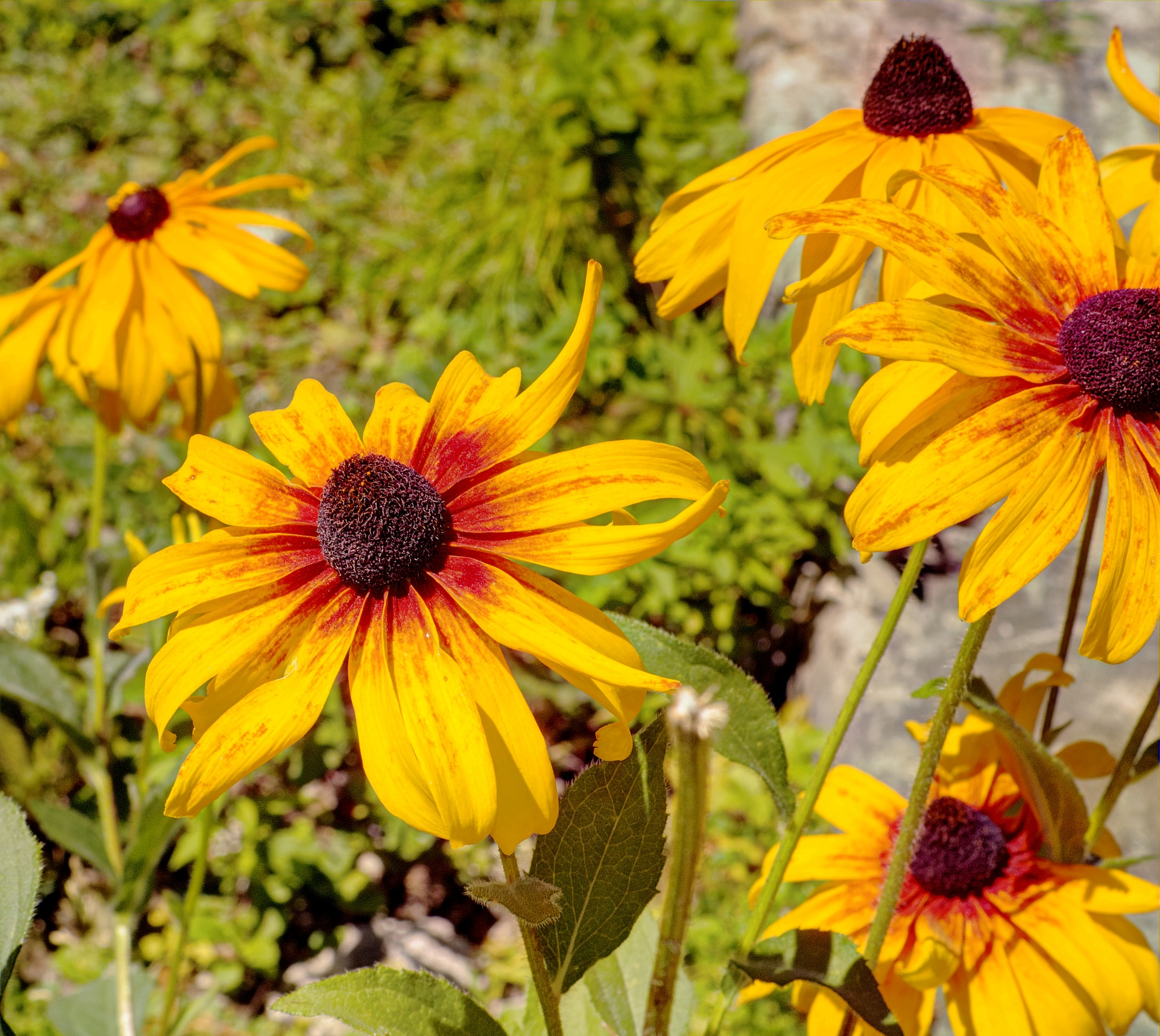 Rudbeckia by zvnktomasevic