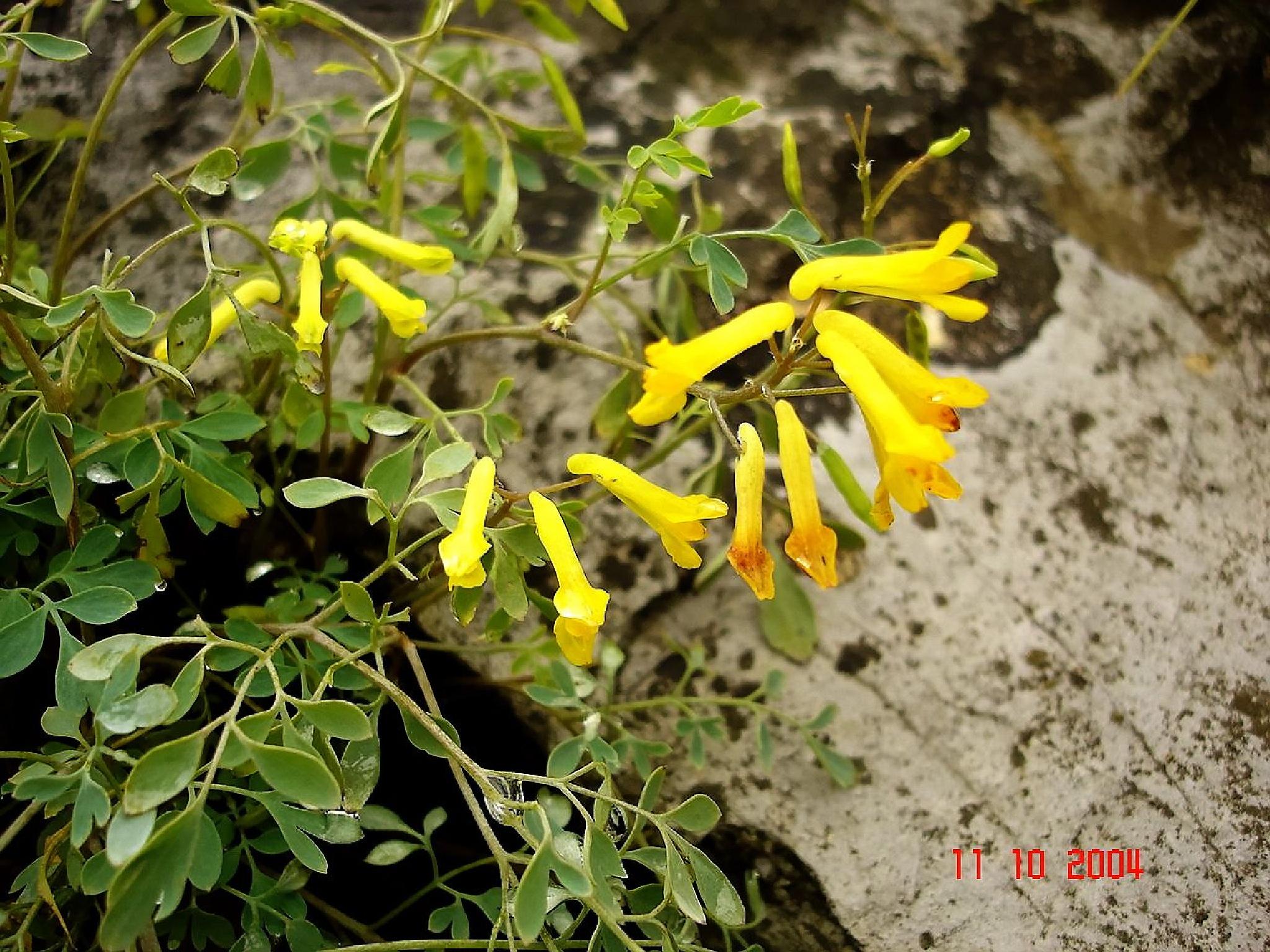 Rumeni petelinček (Corydalis lutea) by zvnktomasevic