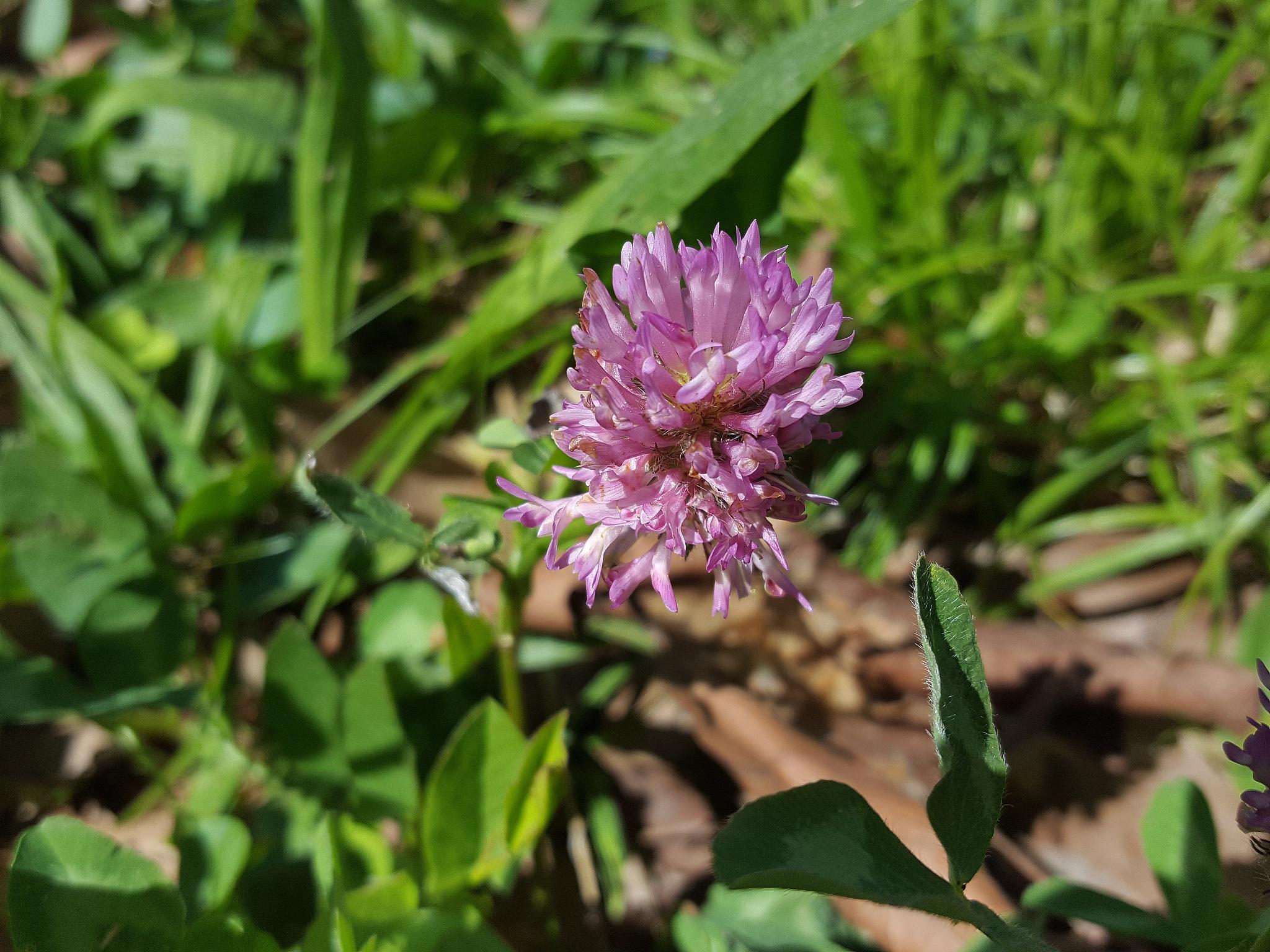 20160430_132909 Trifolium pratense (črna detelja) by zvnktomasevic