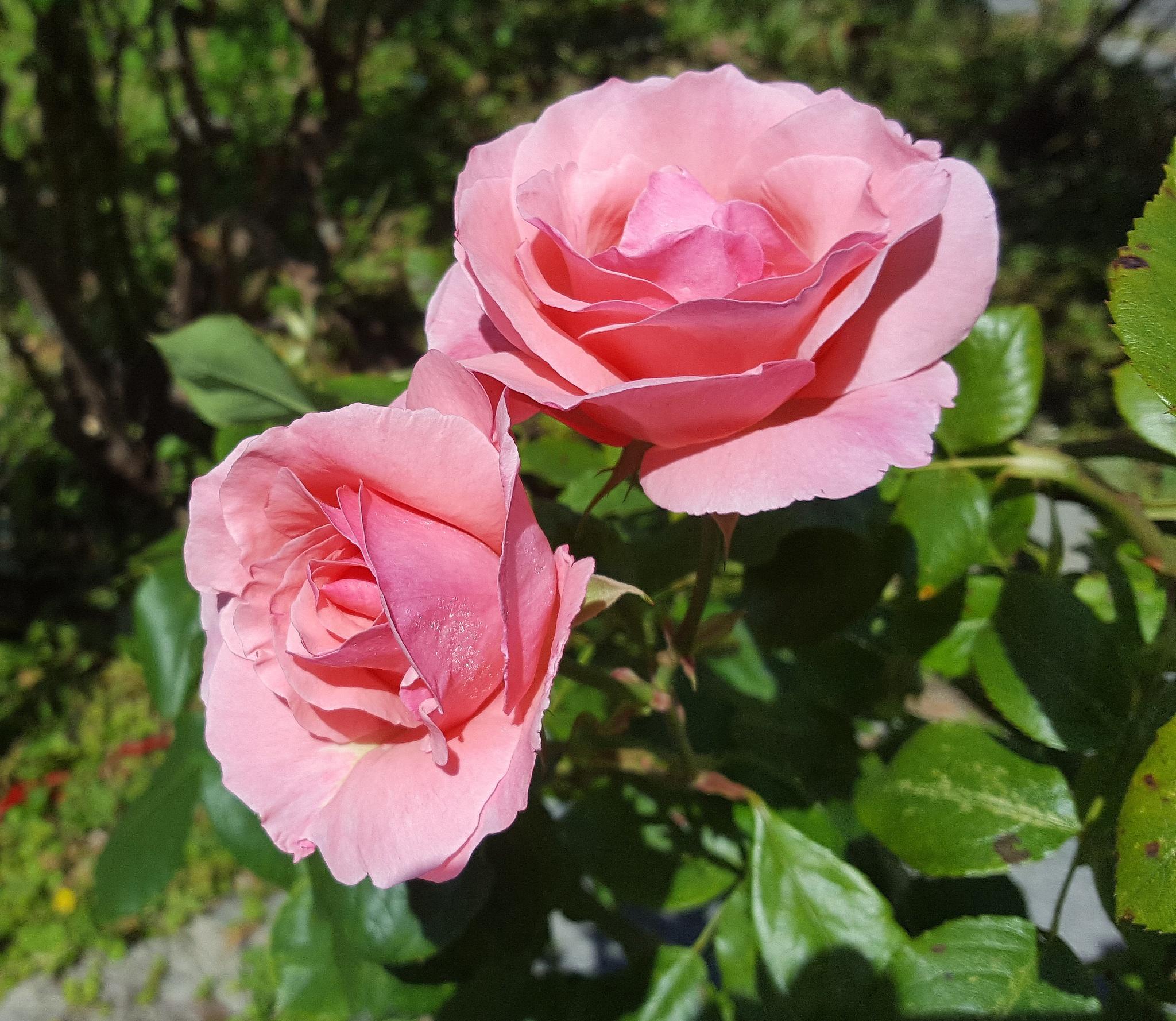 2016.06.05_ 01. Vrtnica by zvnktomasevic
