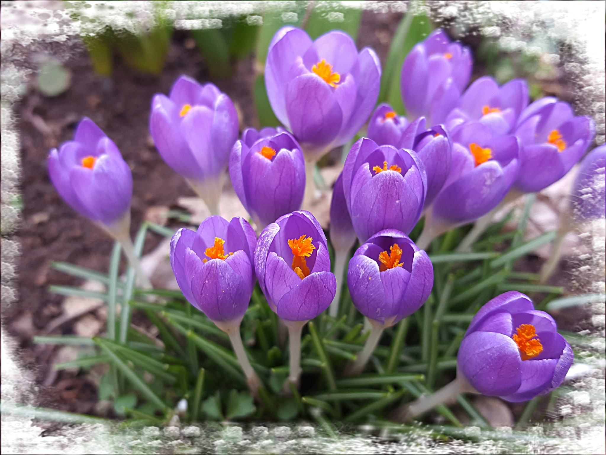 Crocus by zvnktomasevic