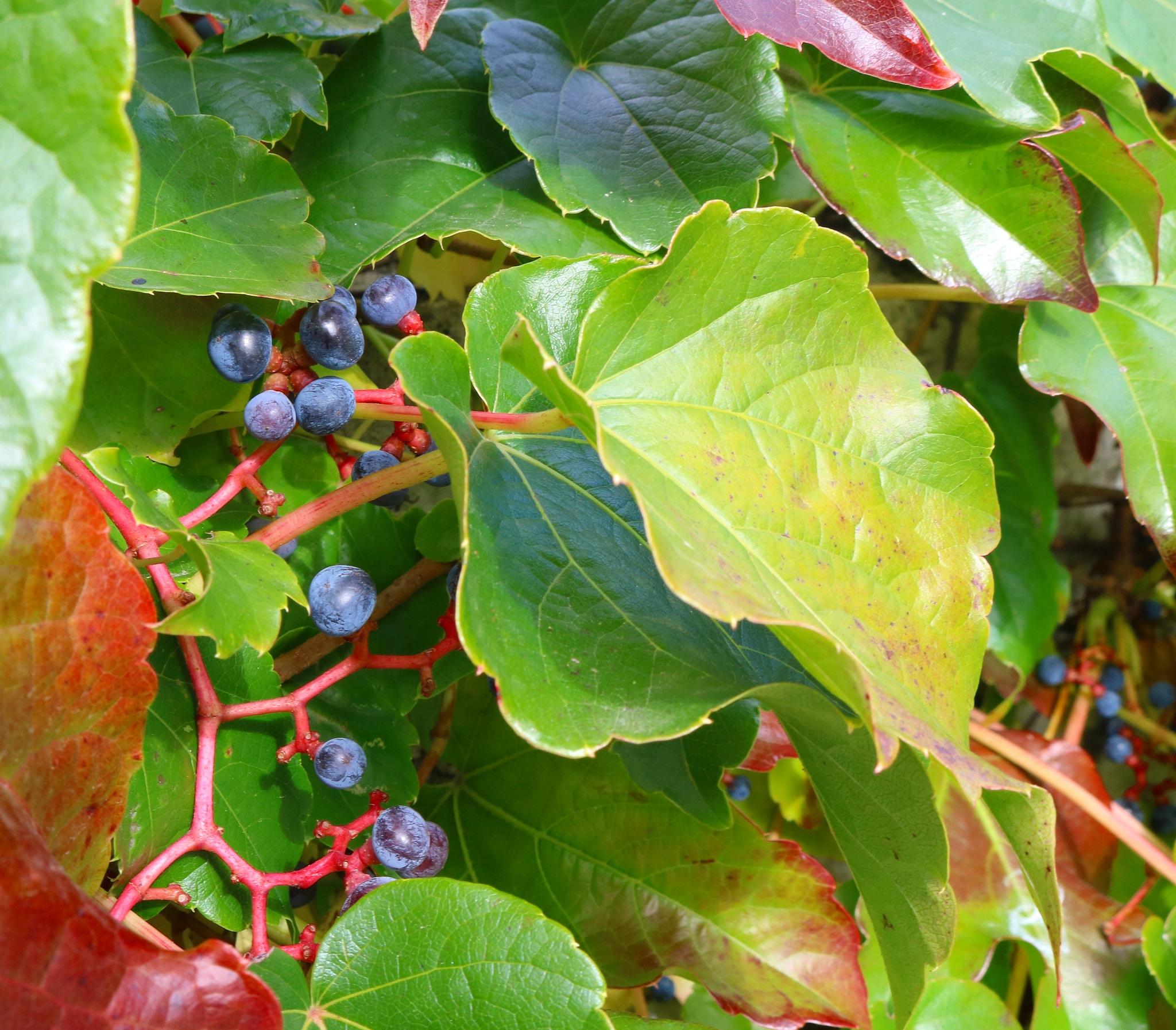 parthenocissus tricuspidata veitchii by zvnktomasevic