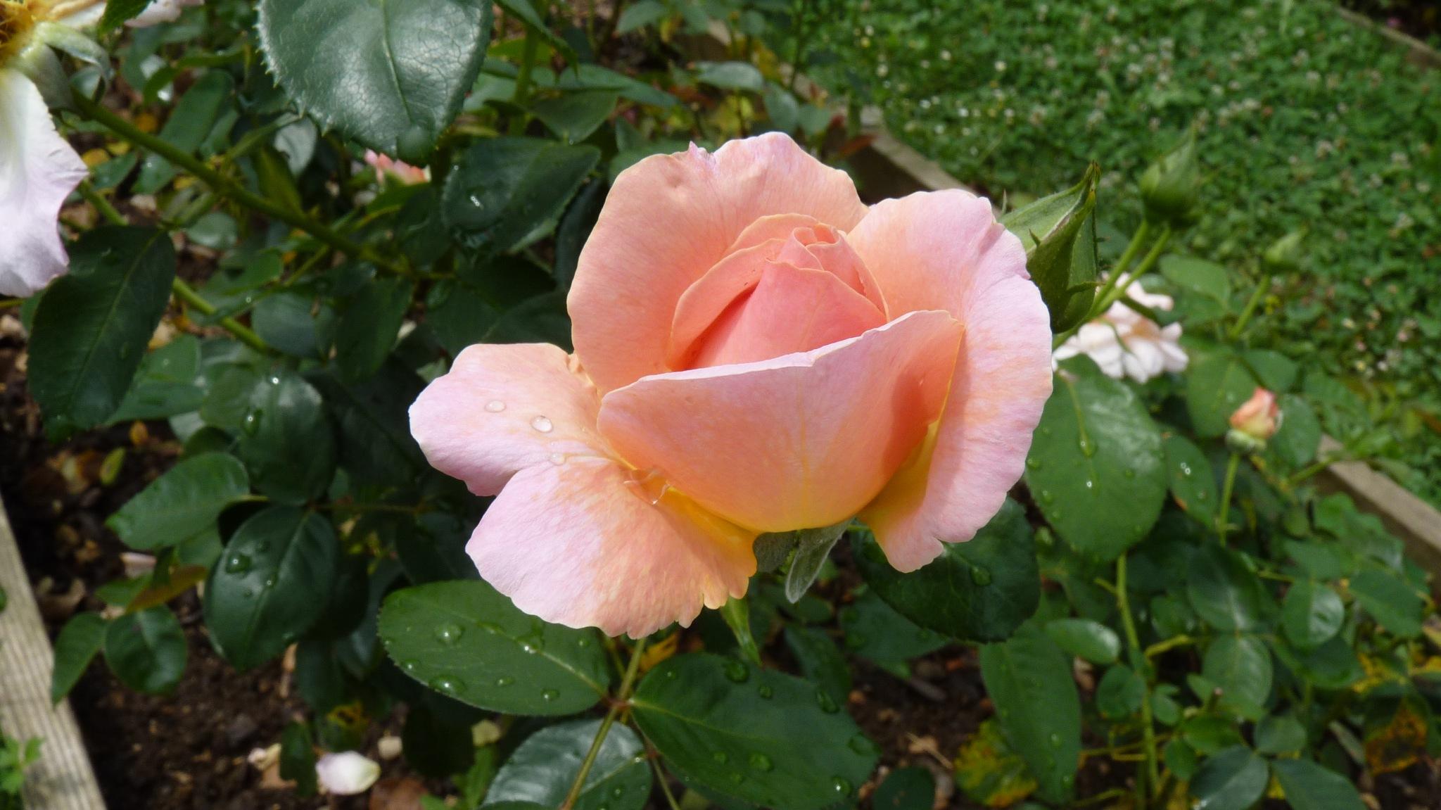 Vrtnica - Rose by zvnktomasevic
