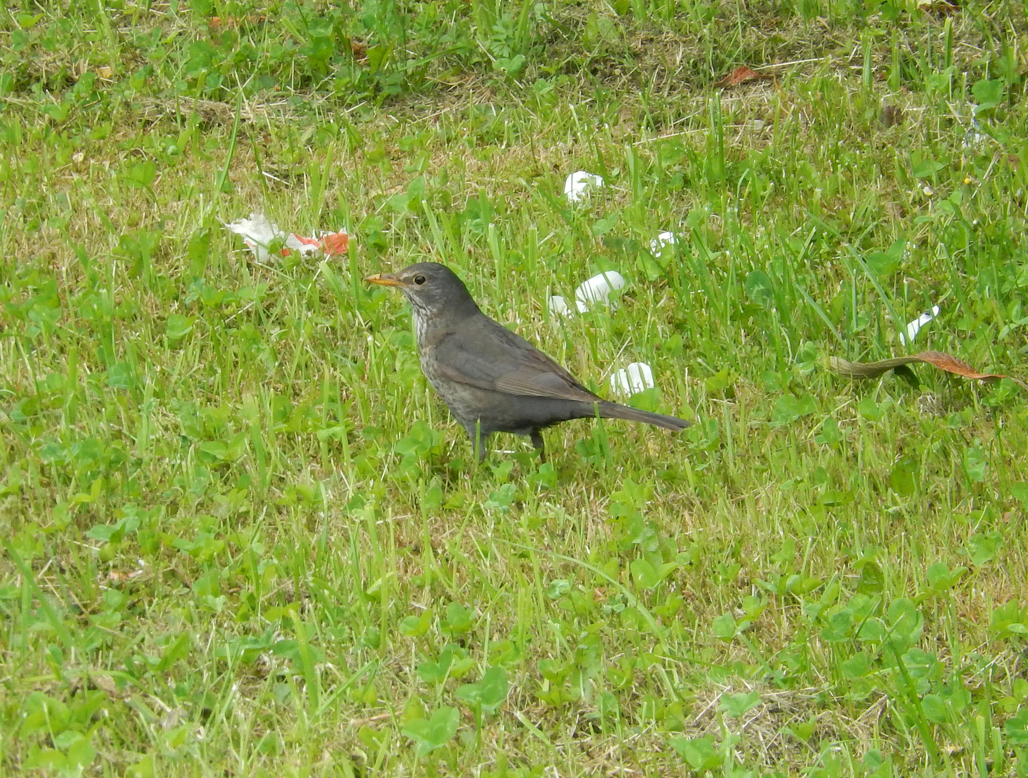 common blackbird (Turdus merula) by zvnktomasevic