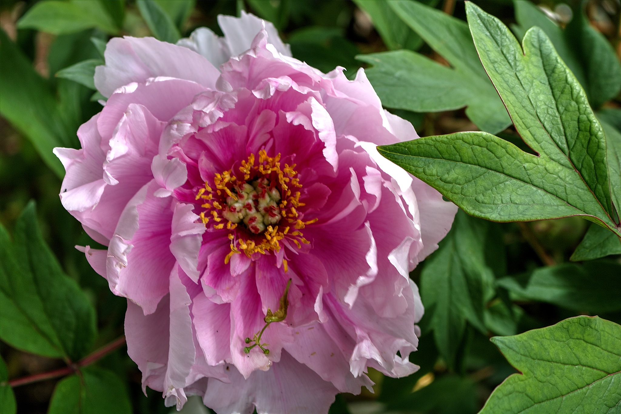 Paeonia suffruticosa – lesnata potonika (2) by zvnktomasevic