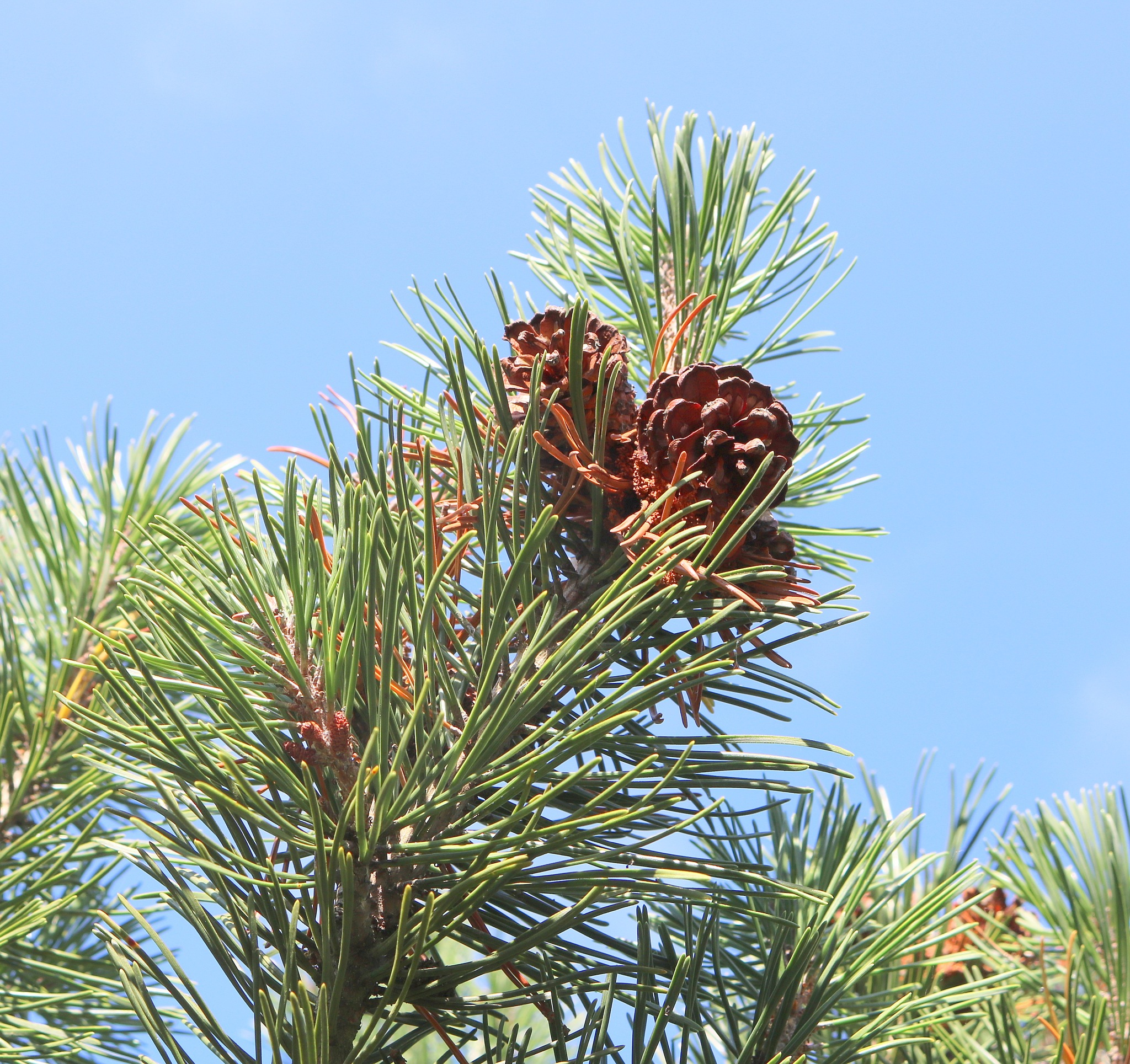 Pinus mungo - rušje by zvnktomasevic