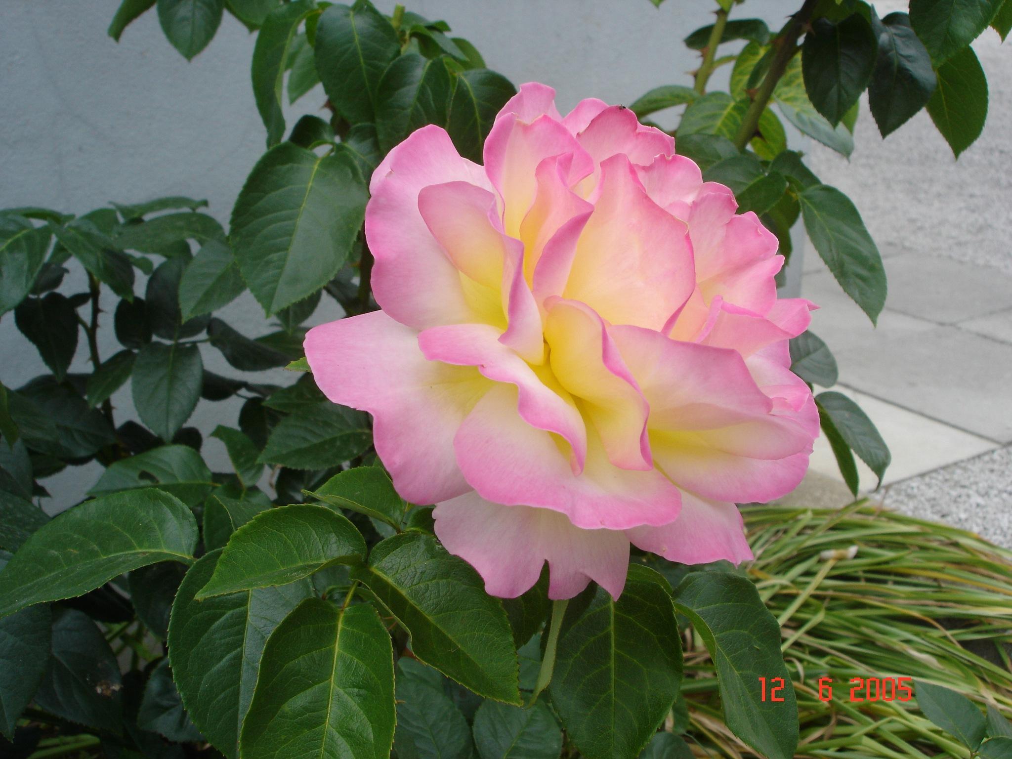Rose by zvnktomasevic