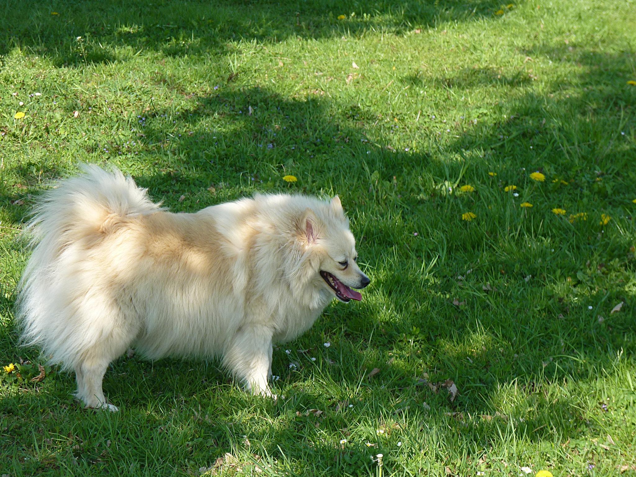 Pes - Dog by zvnktomasevic